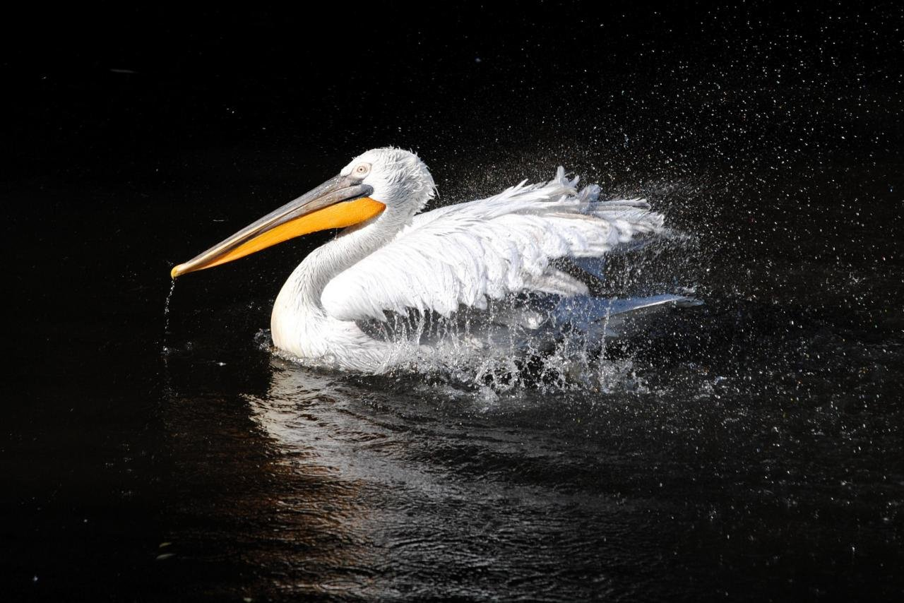Best Pelican wallpaper ID:189577 for High Resolution hd 1280x854 desktop
