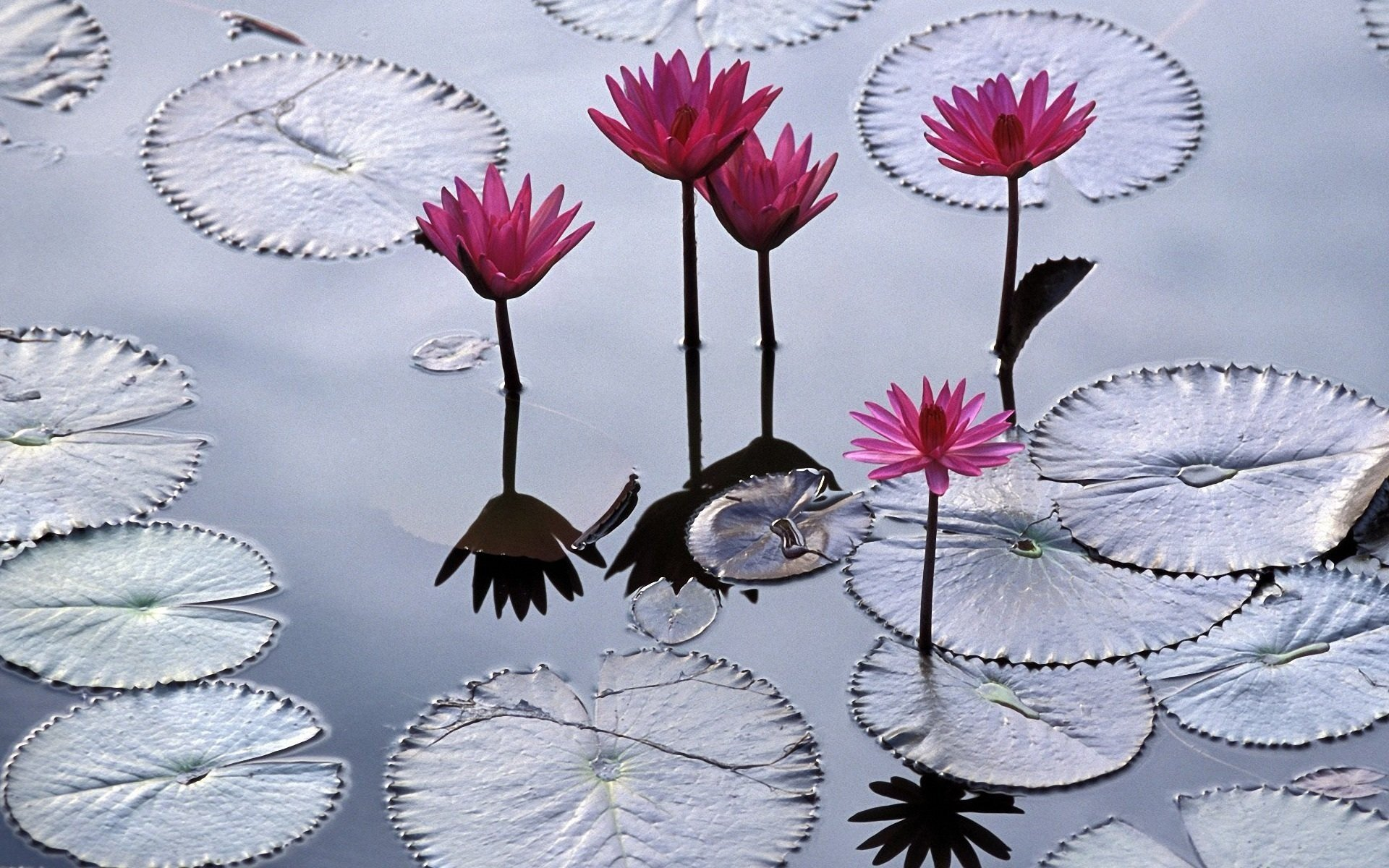Awesome Water Lily free wallpaper ID:366179 for hd 1920x1200 PC