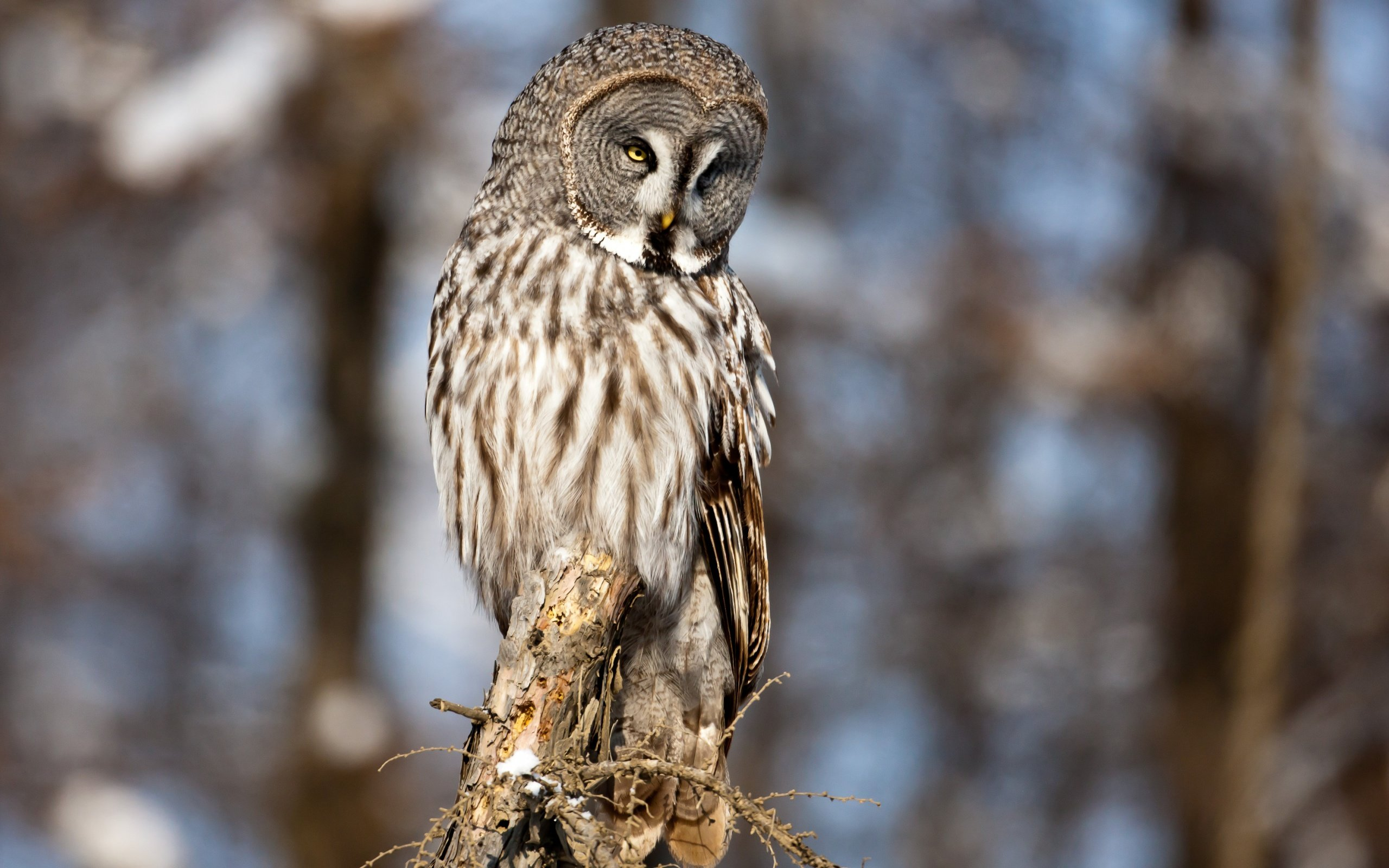Download hd 2560x1600 Great Grey Owl PC wallpaper ID:235128 for free