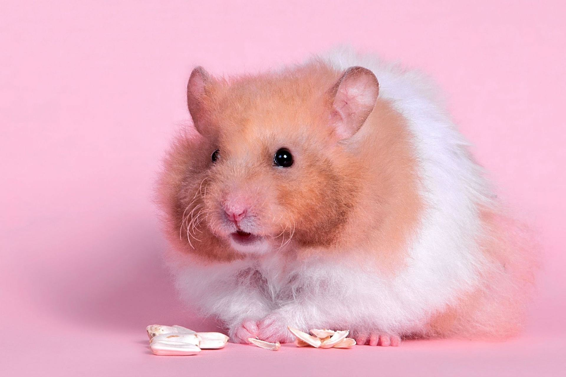 Best Hamster background ID:234055 for High Resolution hd 1920x1280 desktop