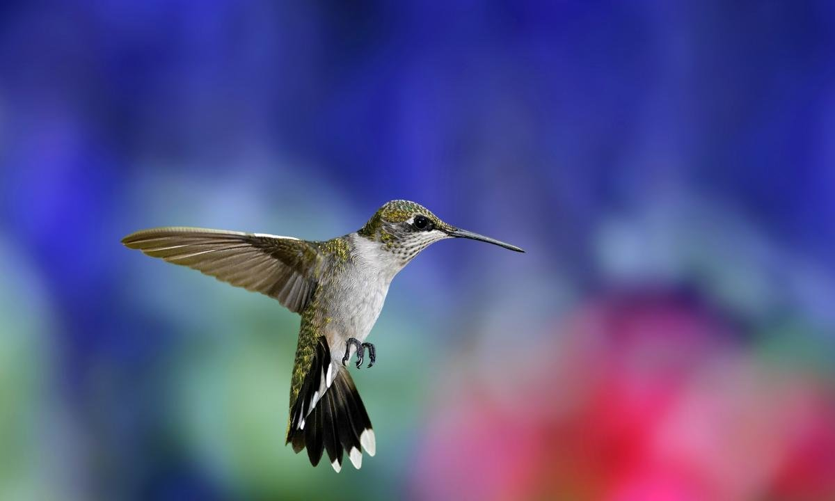 Download hd 1200x720 Hummingbird PC background ID:215687 for free