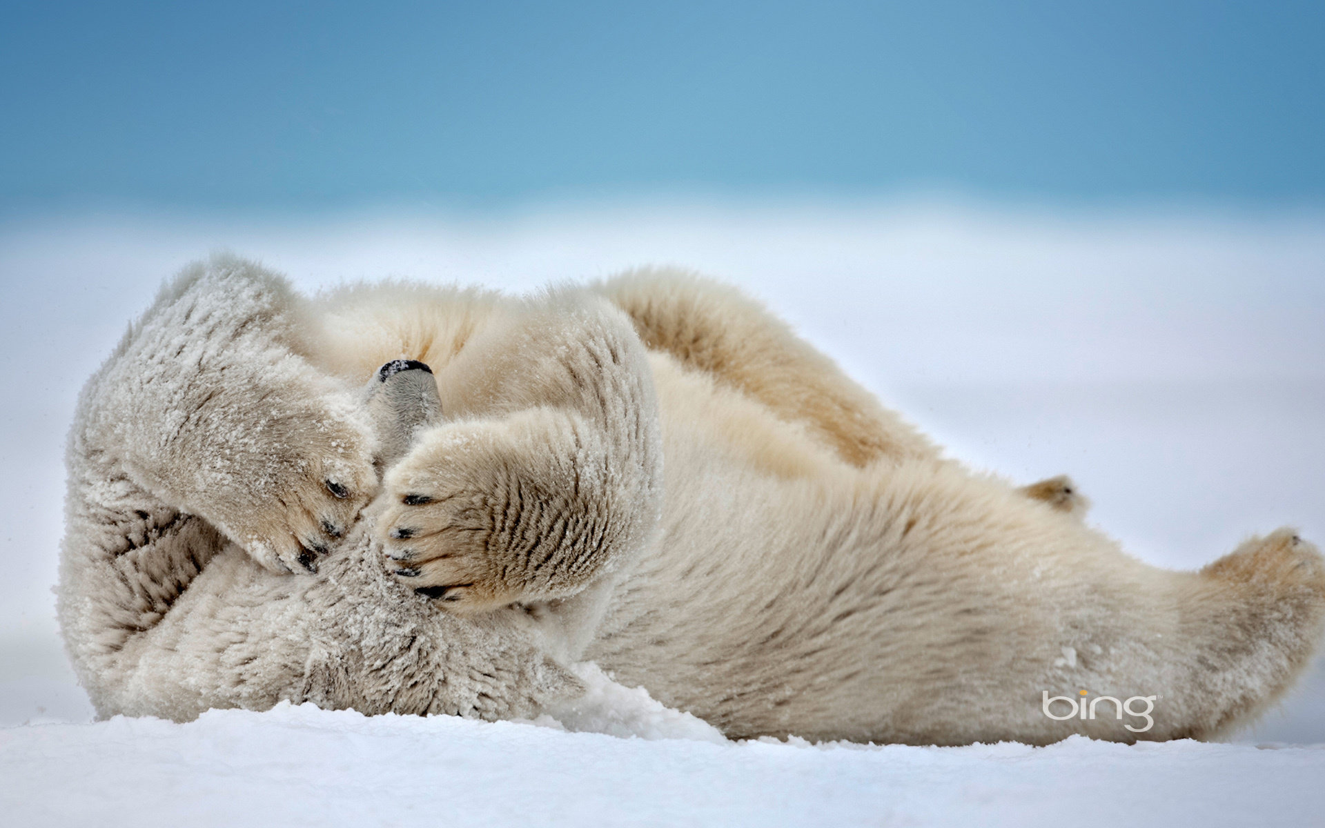 Download hd 1920x1200 Polar Bear desktop wallpaper ID:359731 for free