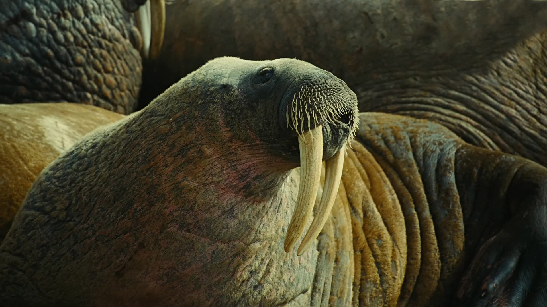 Free Walrus high quality wallpaper ID:394831 for 1080p desktop