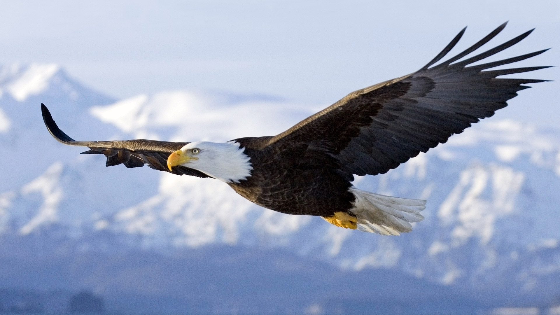 High resolution American Bald Eagle 1080p background ID:68644 for desktop