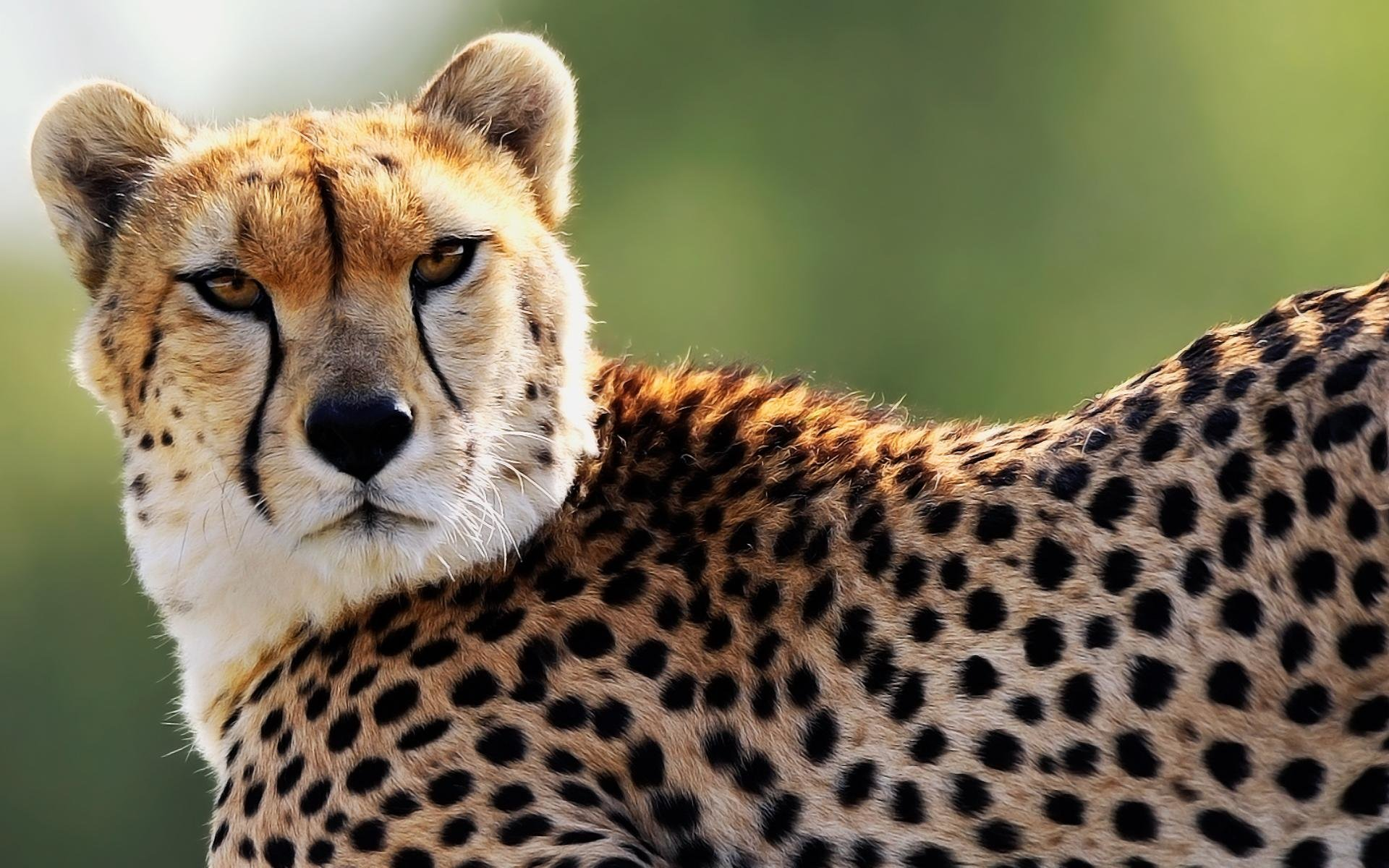 Download hd 1920x1200 Cheetah desktop background ID:161830 for free