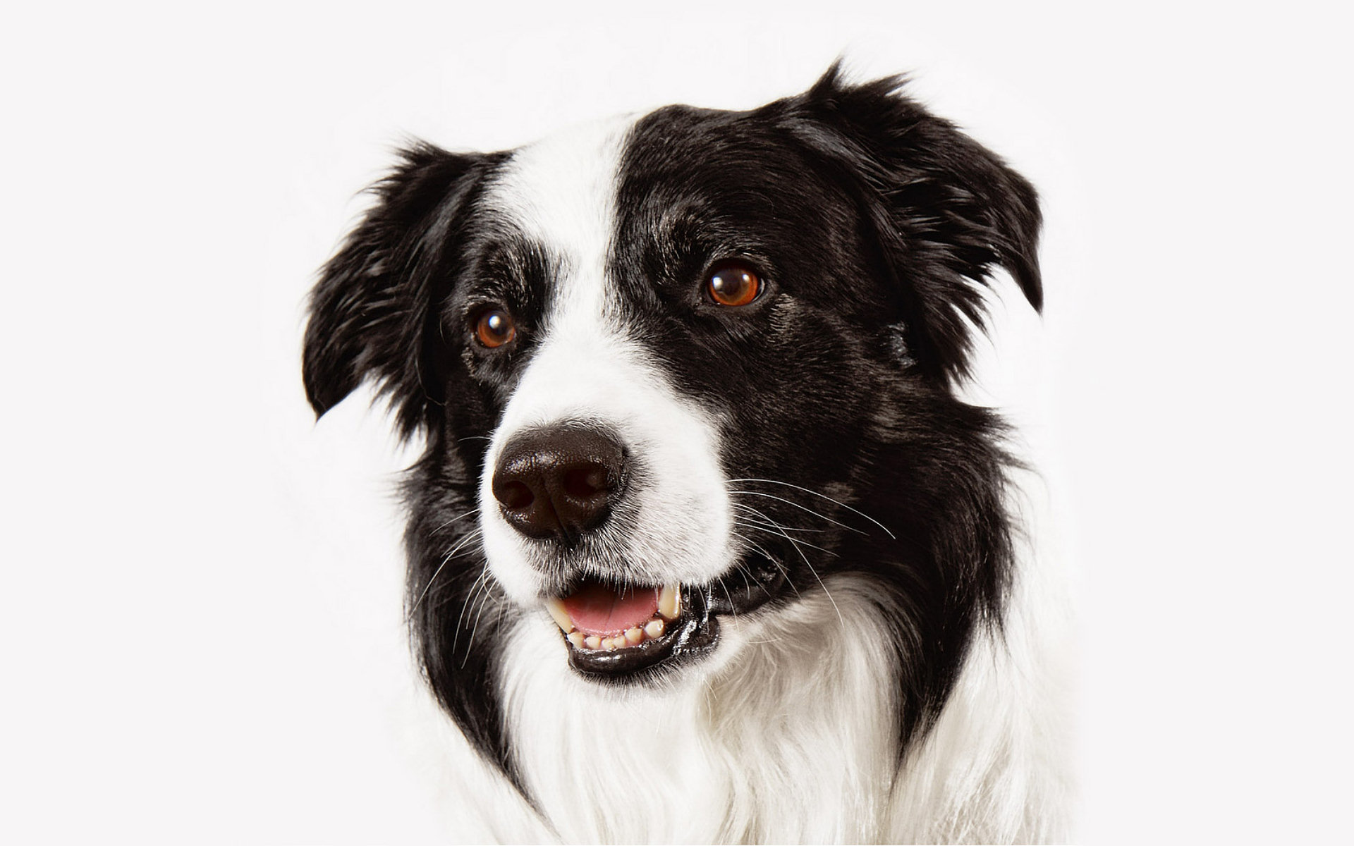 Best Border Collie wallpaper ID:165863 for High Resolution hd 1920x1200 computer