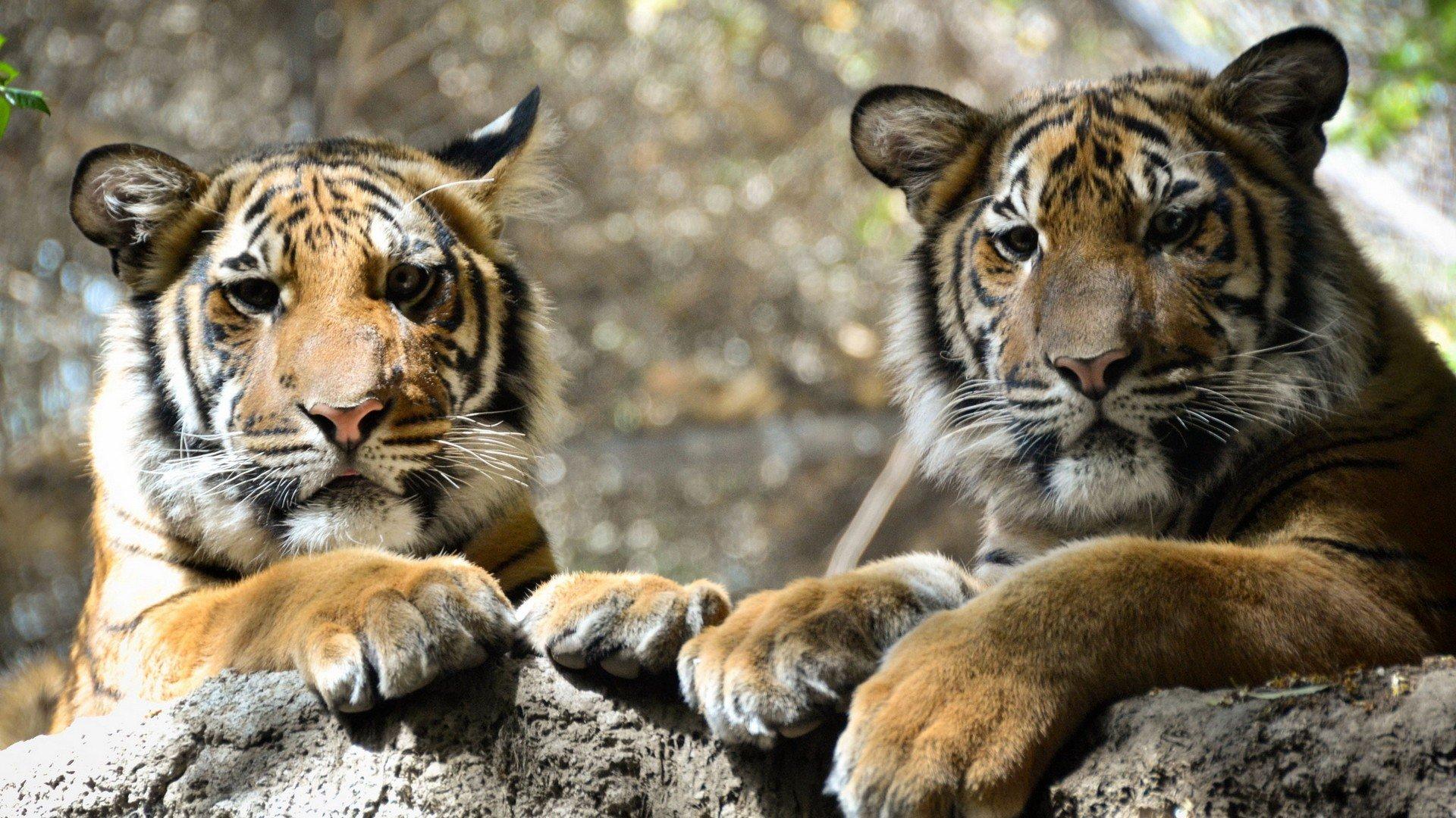 природа животные тигры  № 99215 загрузить