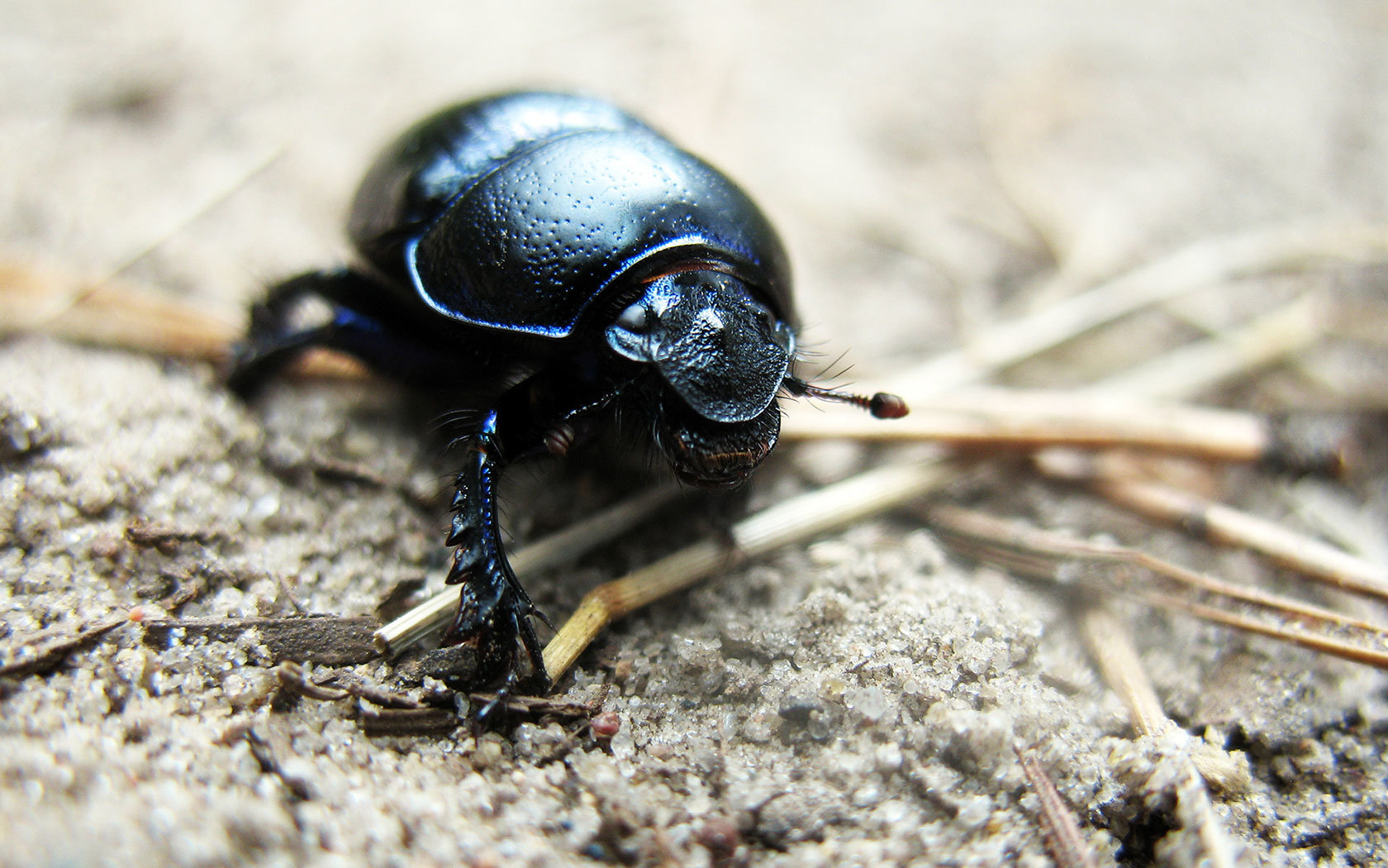 Awesome Beetle free wallpaper ID:421550 for hd 1680x1050 PC
