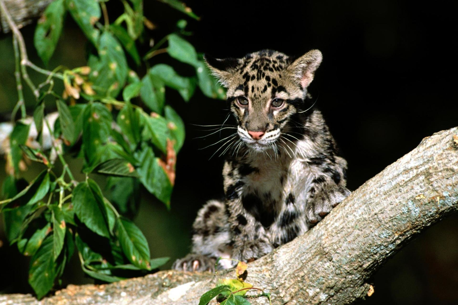 Awesome Clouded Leopard free wallpaper ID:260369 for hd 1920x1280 computer