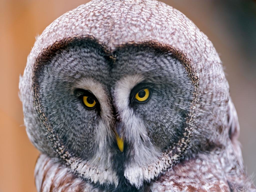 Awesome Great Grey Owl free background ID:235122 for hd 1024x768 computer