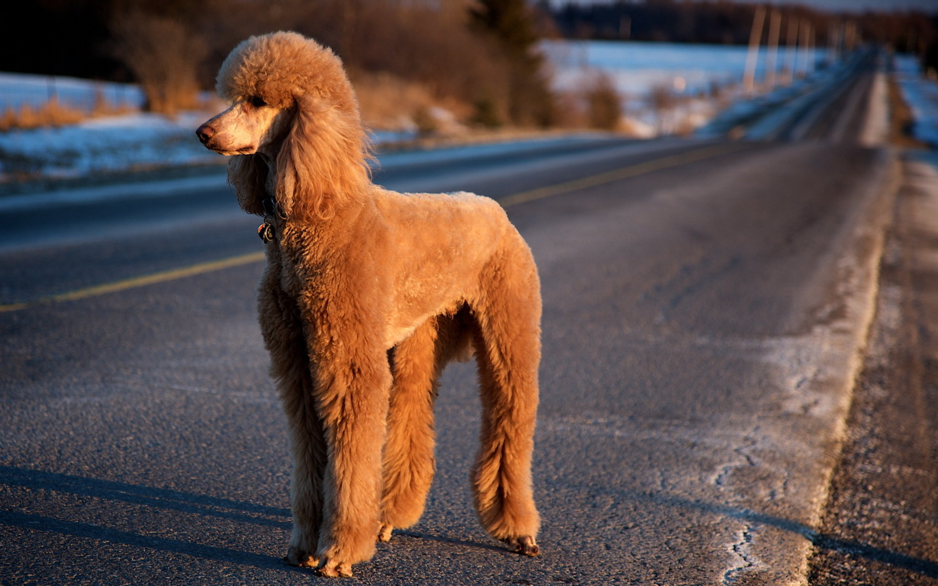 Best Poodle wallpaper ID:145046 for High Resolution hd 1920x1200 computer