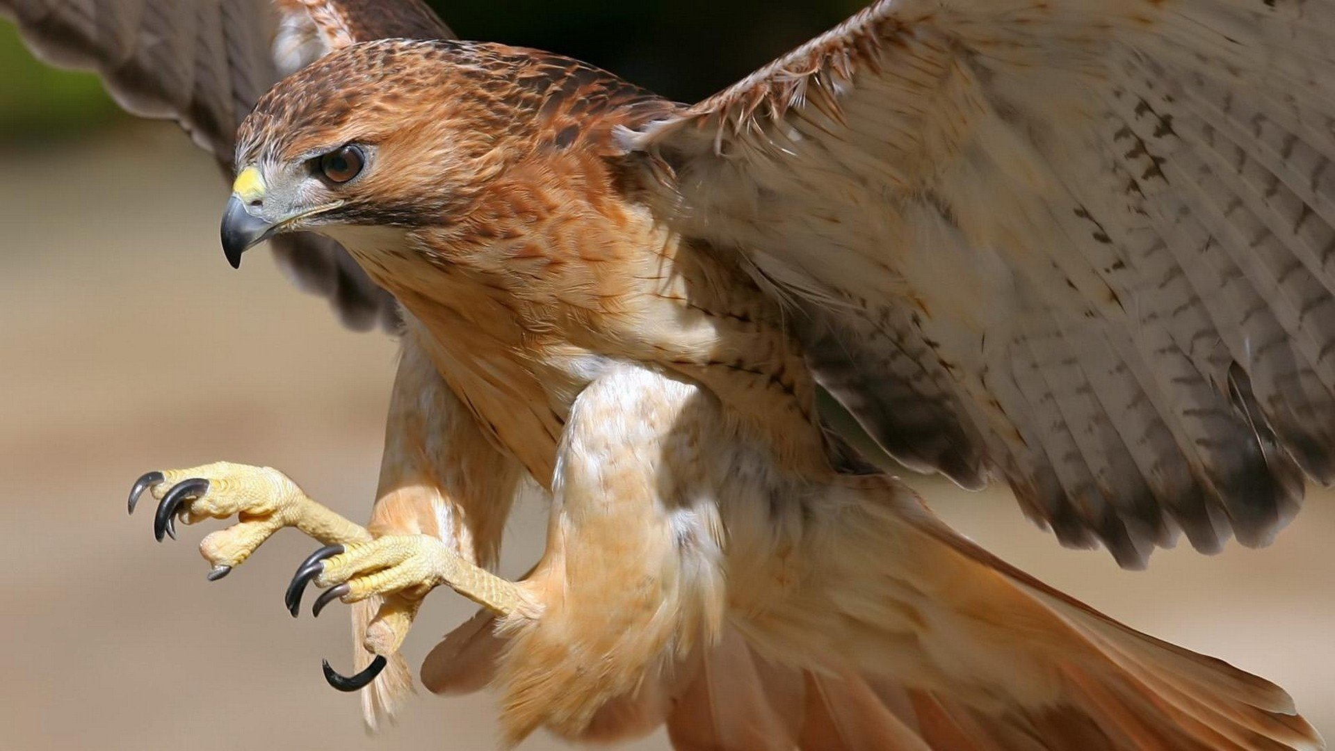 Free Hawk high quality background ID:122545 for 1080p desktop