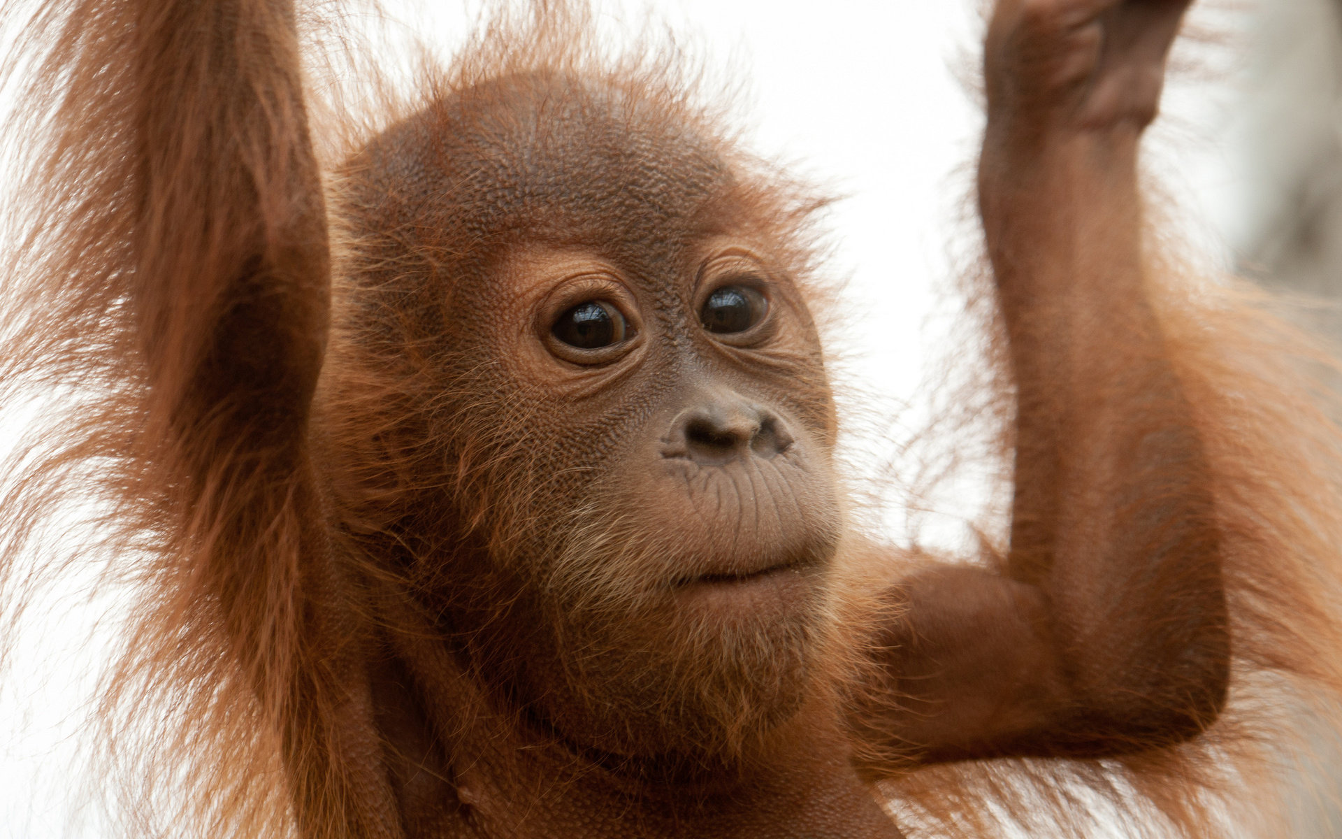 Download hd 1920x1200 Orangutan computer wallpaper ID:70038 for free