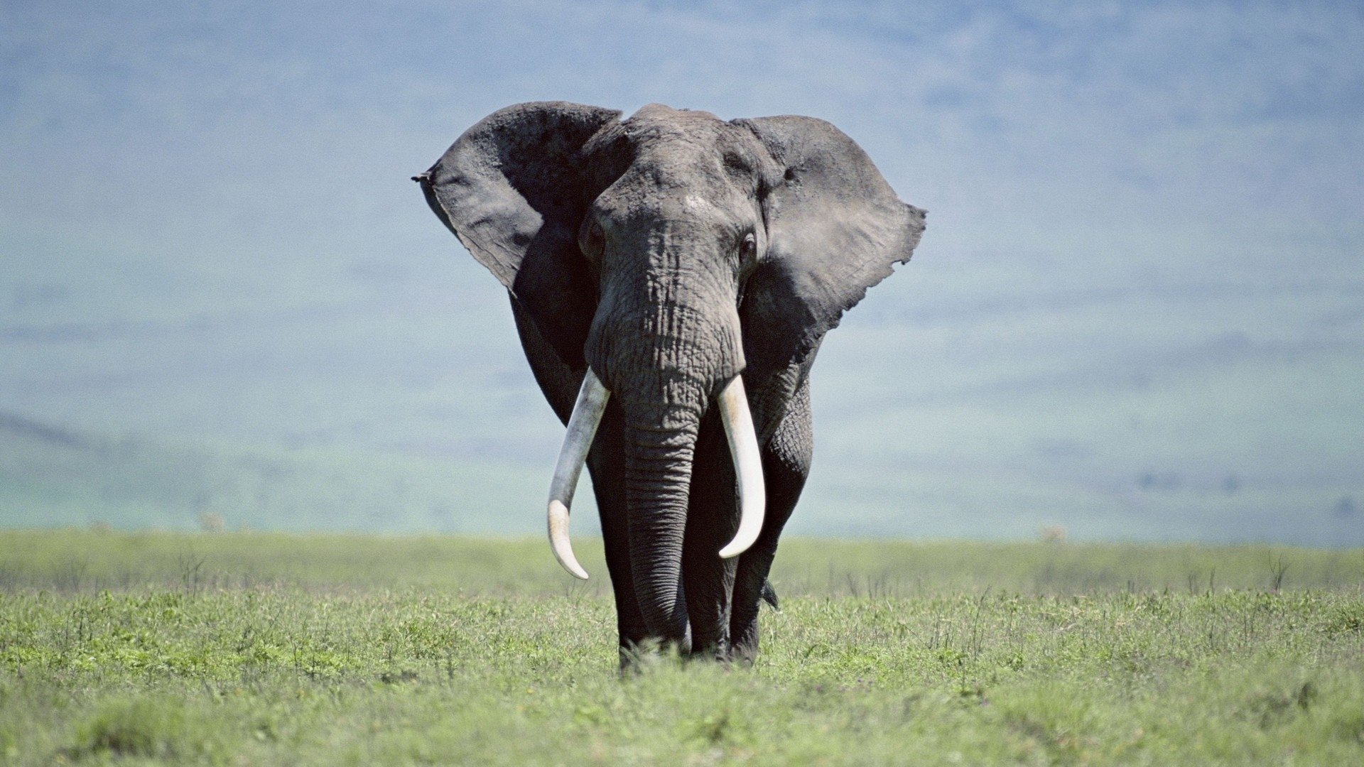 Awesome Elephant free wallpaper ID:132650 for full hd 1920x1080 PC
