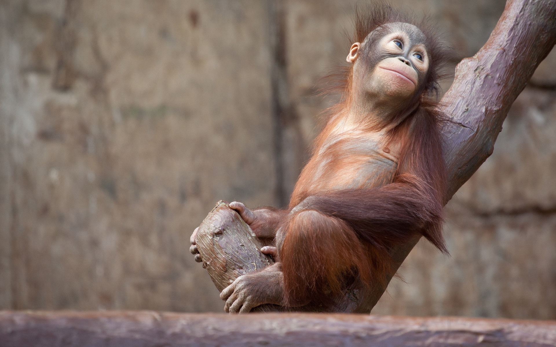 Awesome Orangutan free wallpaper ID:70069 for hd 1920x1200 desktop