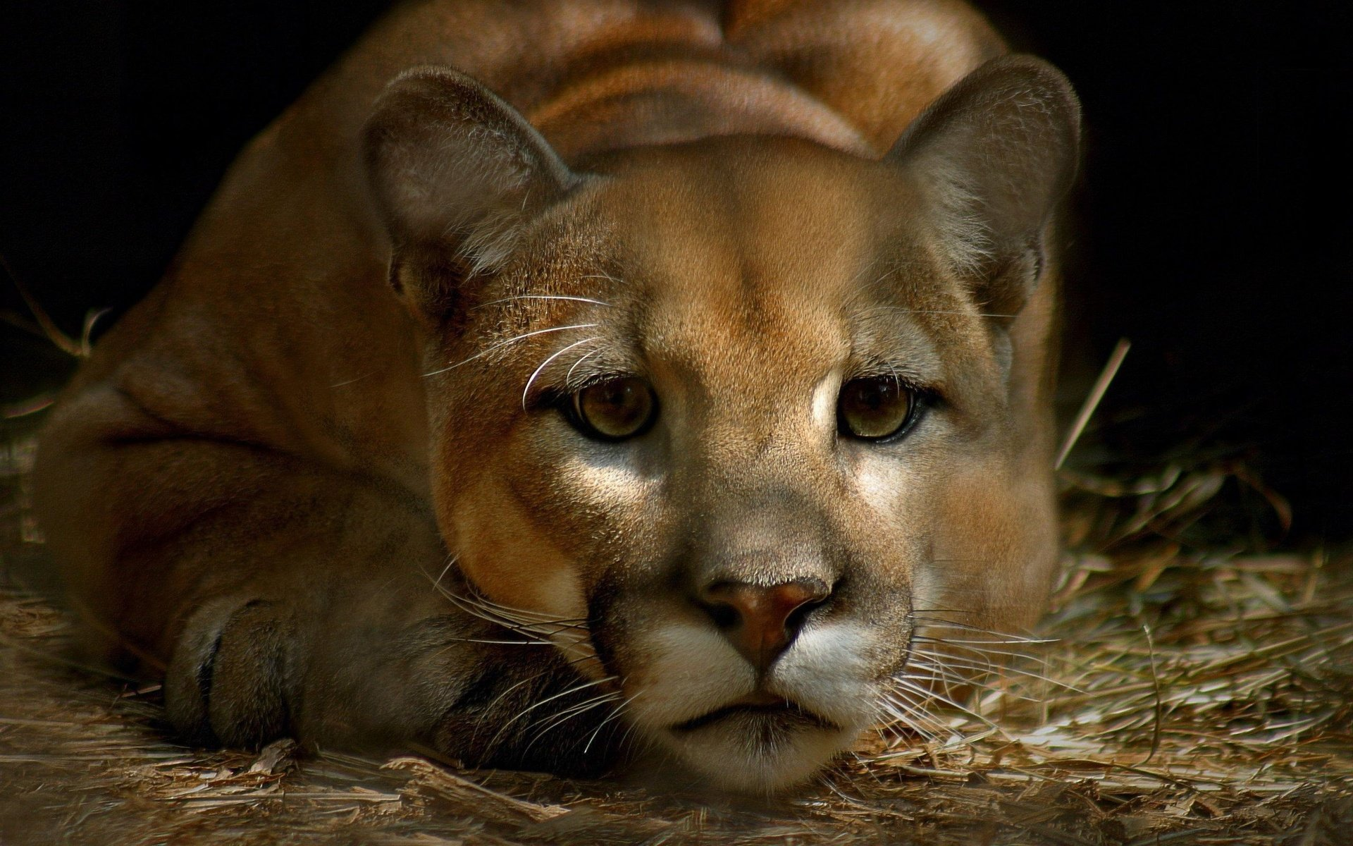 Free download Cougar background ID:81691 hd 1920x1200 for PC