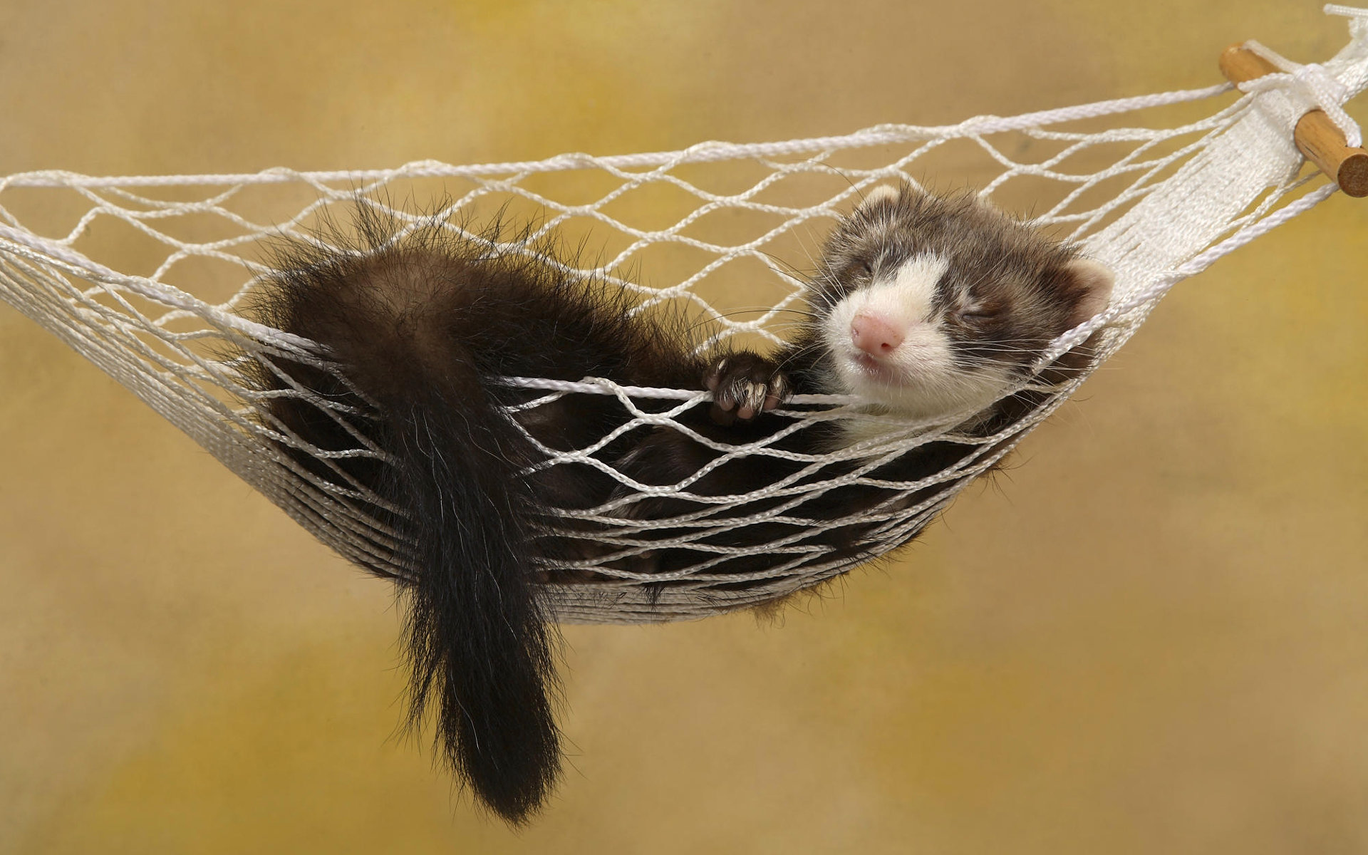 Awesome Ferret free wallpaper ID:165817 for hd 1920x1200 desktop