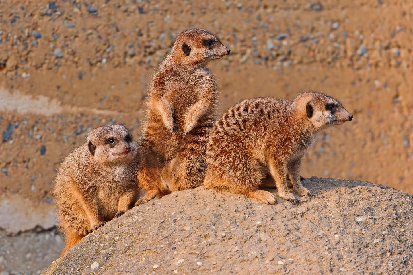 Free Meerkat high quality wallpaper ID:164575 for hd 1440x960 PC