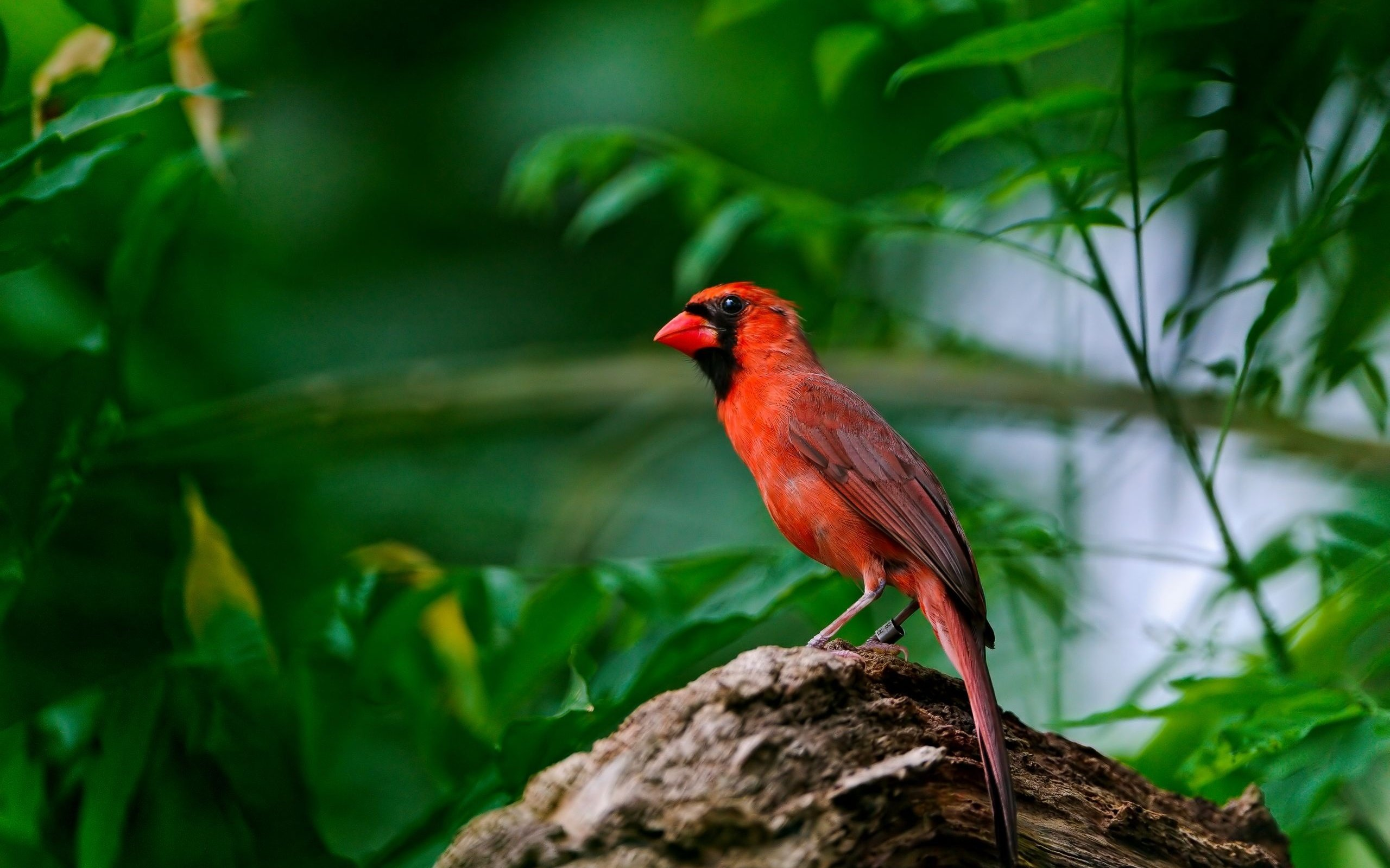 Awesome Cardinal free wallpaper ID:24669 for hd 2560x1600 PC