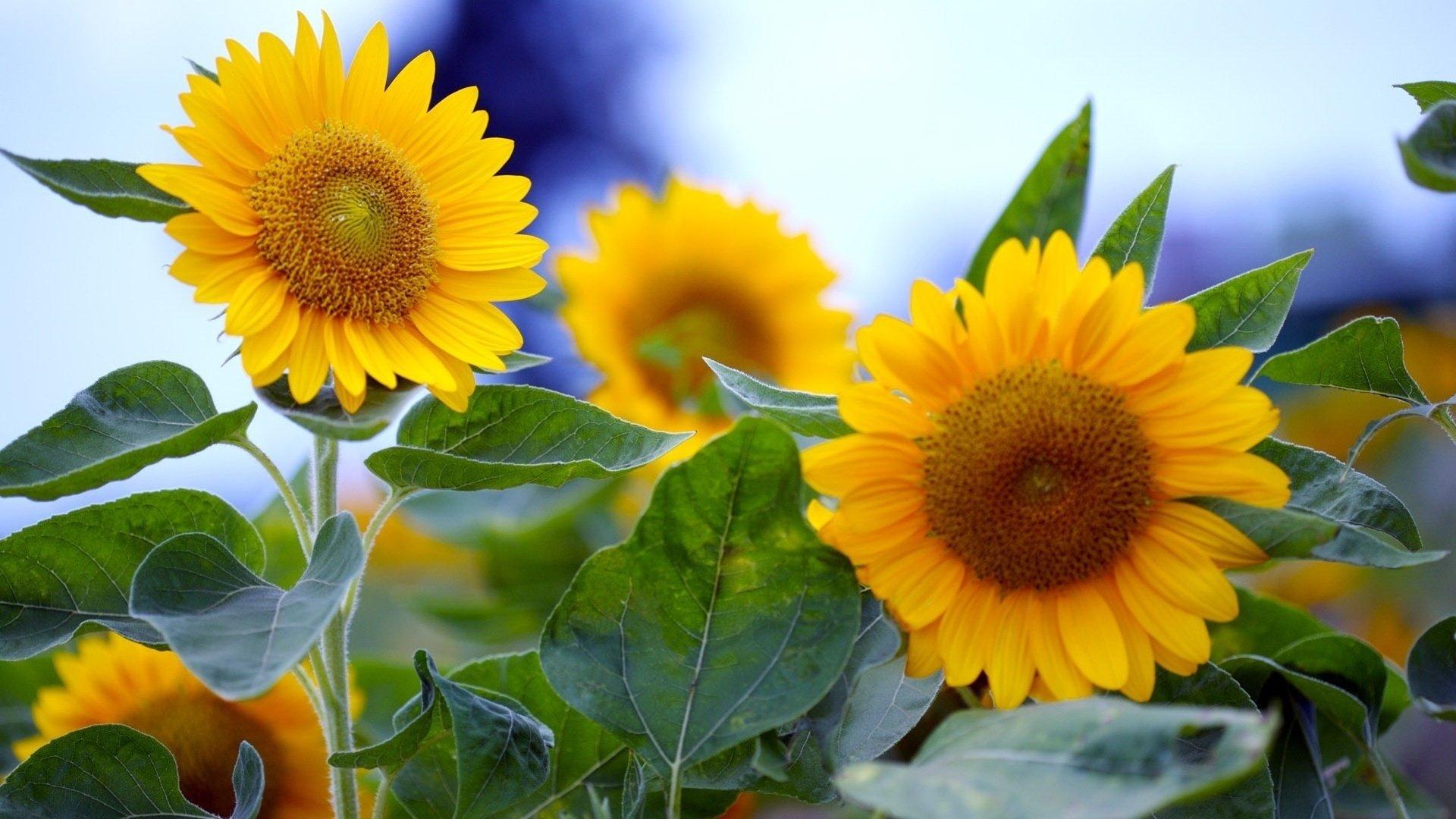 sunflower background full hd 226443