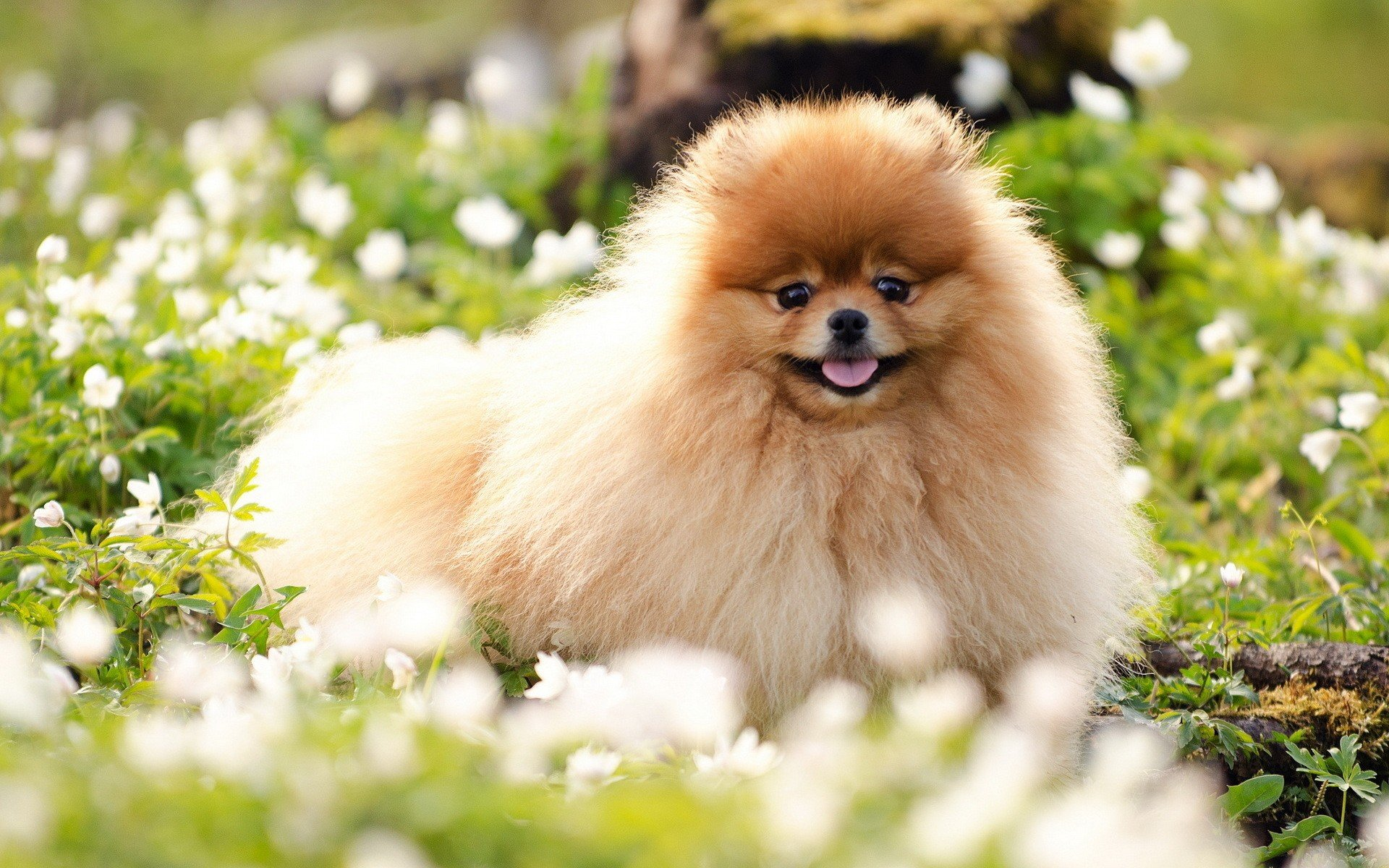 Free Pomeranian high quality background ID:184951 for hd 1920x1200 PC