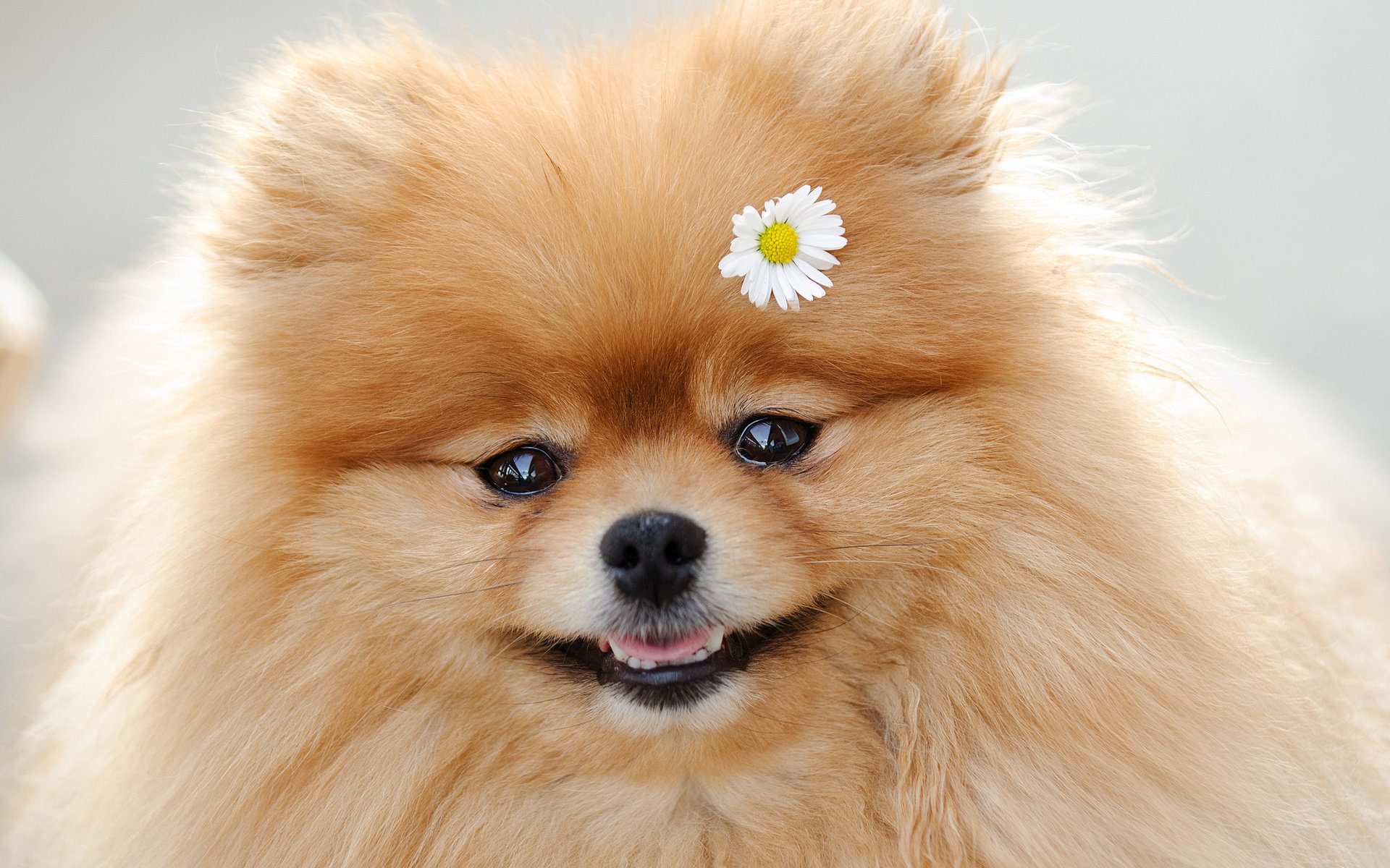Free download Pomeranian wallpaper ID:184956 hd 1920x1200 for desktop