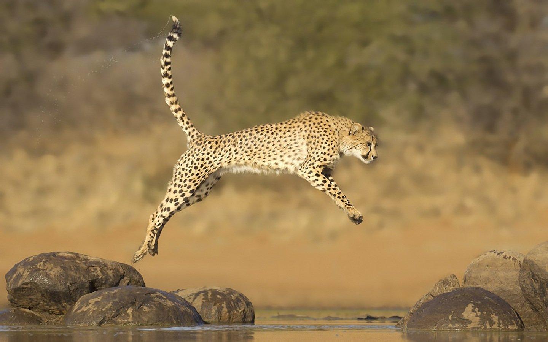 cheetah wallpapers for desktop – best cheetah 2018