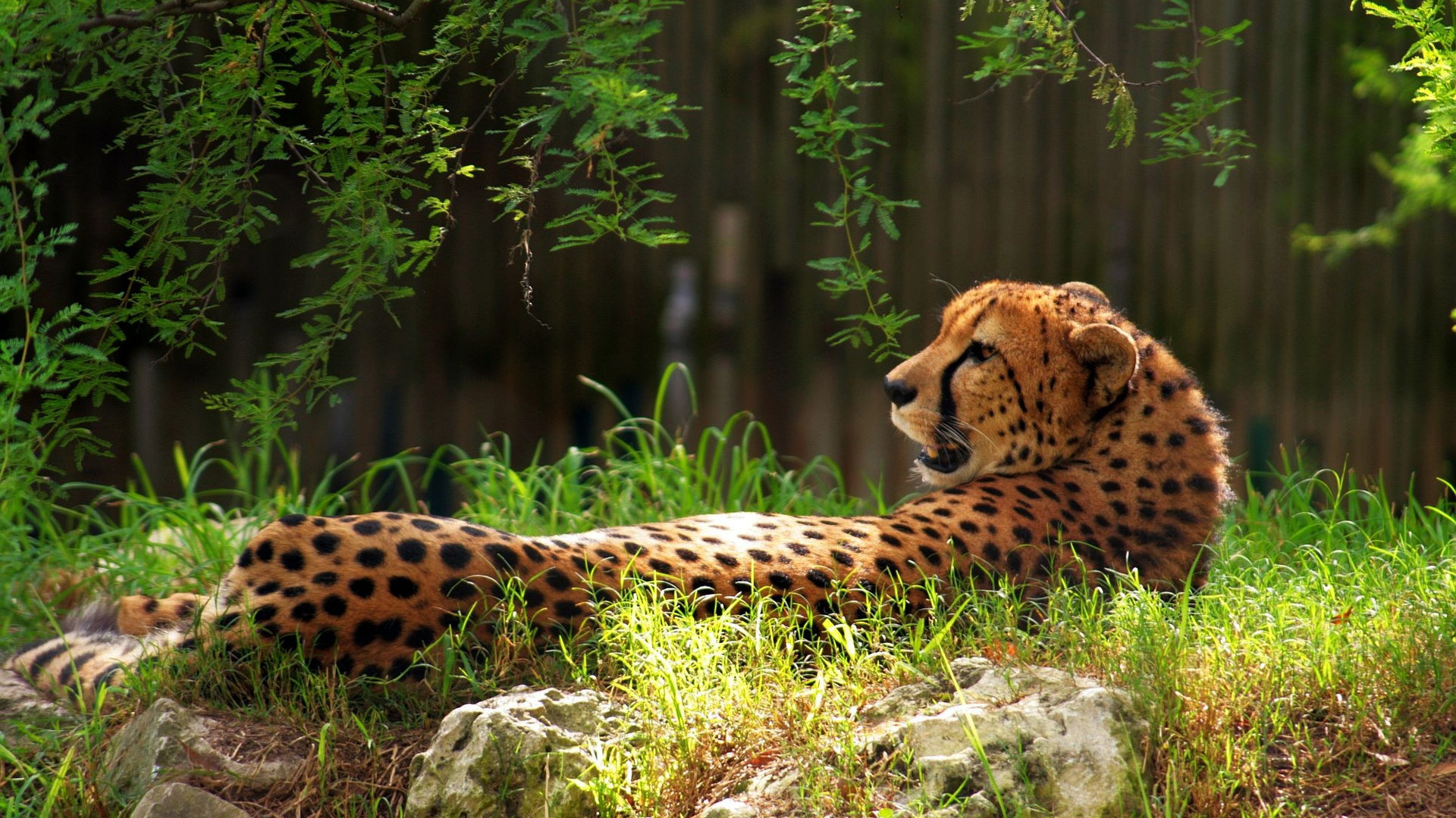 Awesome Cheetah free wallpaper ID:161739 for hd 1920x1080 desktop