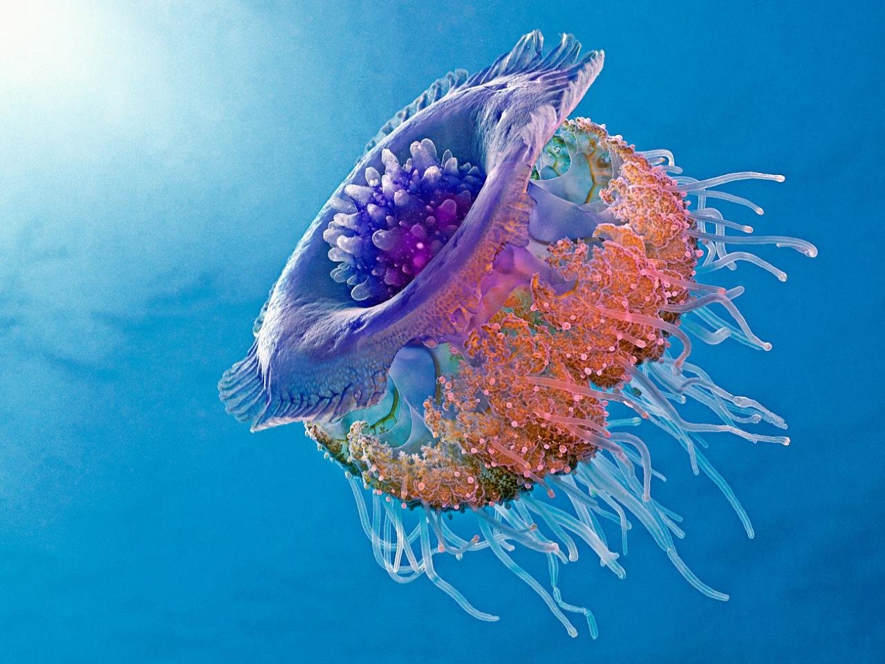 High resolution Jellyfish hd 1280x960 wallpaper ID:199750 for PC