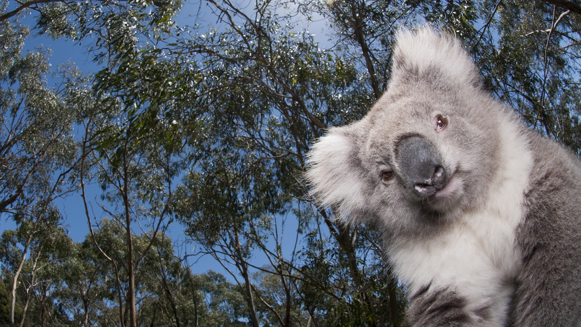 Free Koala high quality background ID:74237 for full hd computer