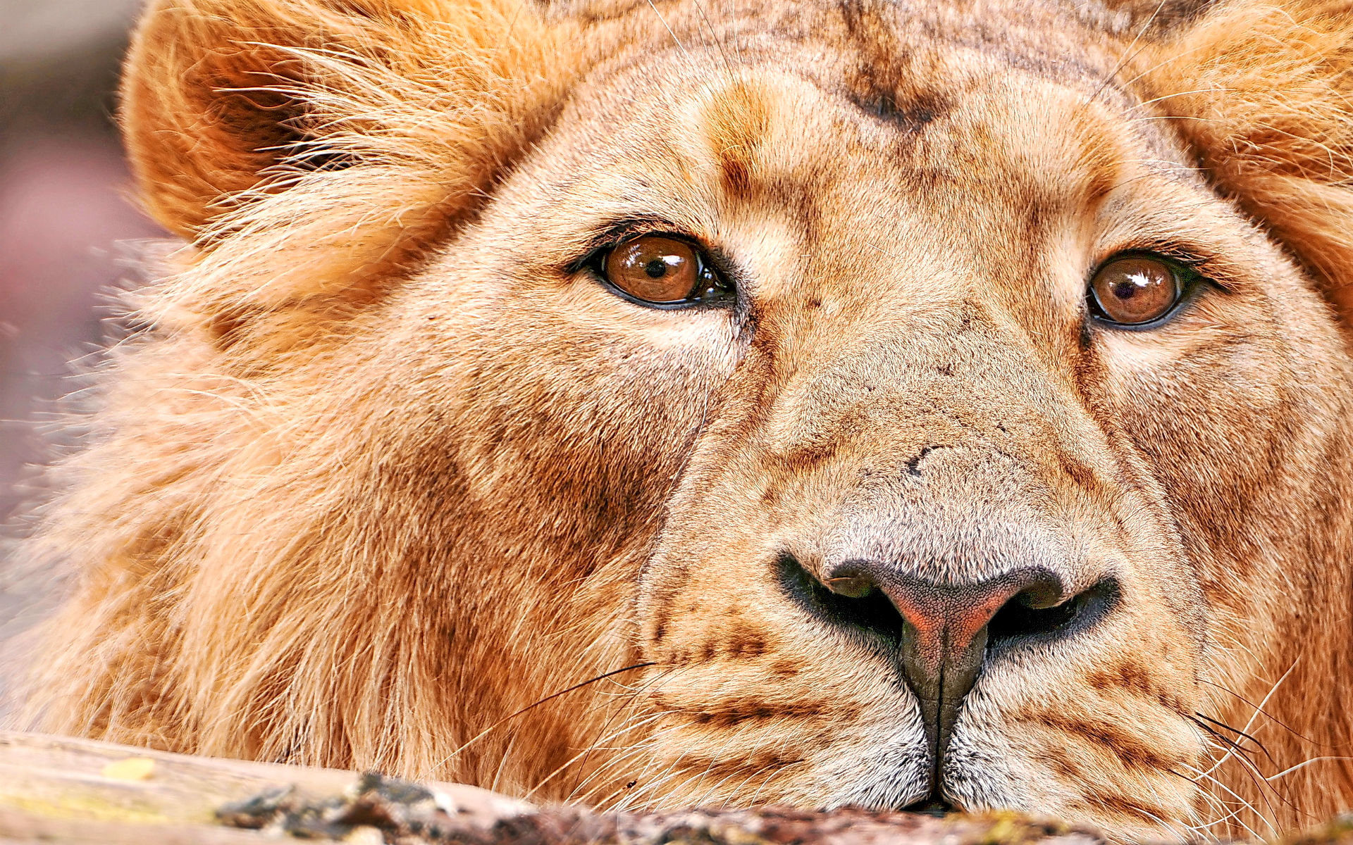 Best Lion background ID:256058 for High Resolution hd 1920x1200 PC