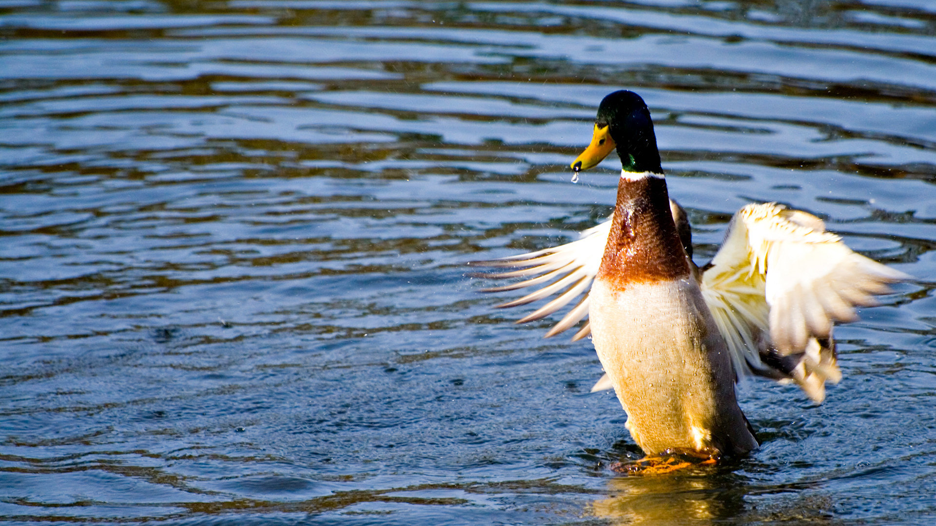 High resolution Mallard full hd 1920x1080 background ID:358211 for computer