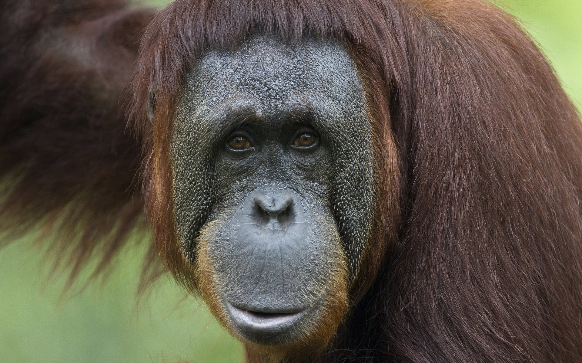 Best Orangutan background ID:70021 for High Resolution hd 1920x1200 PC