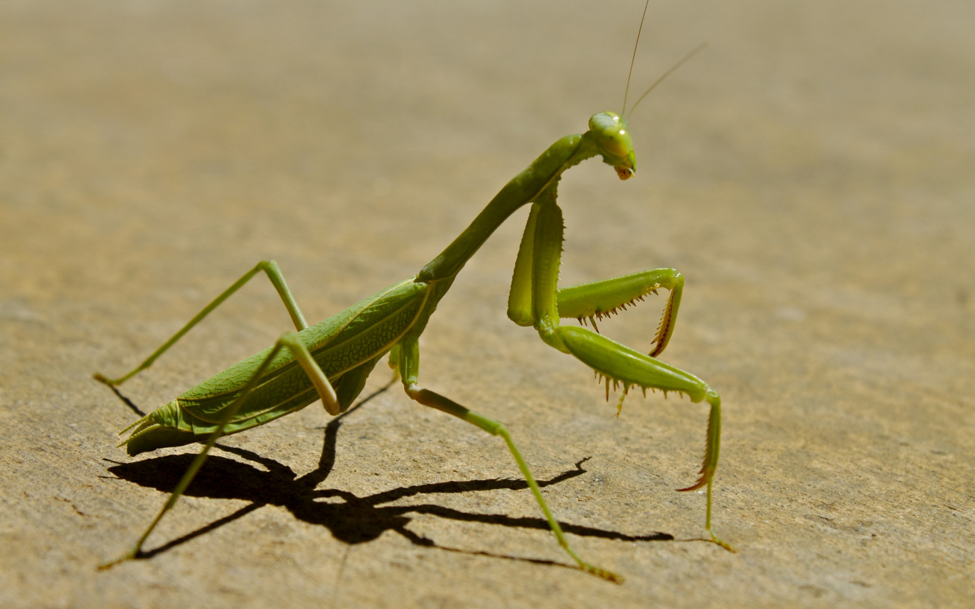 Free download Praying Mantis wallpaper ID:156455 hd 1920x1200 for desktop