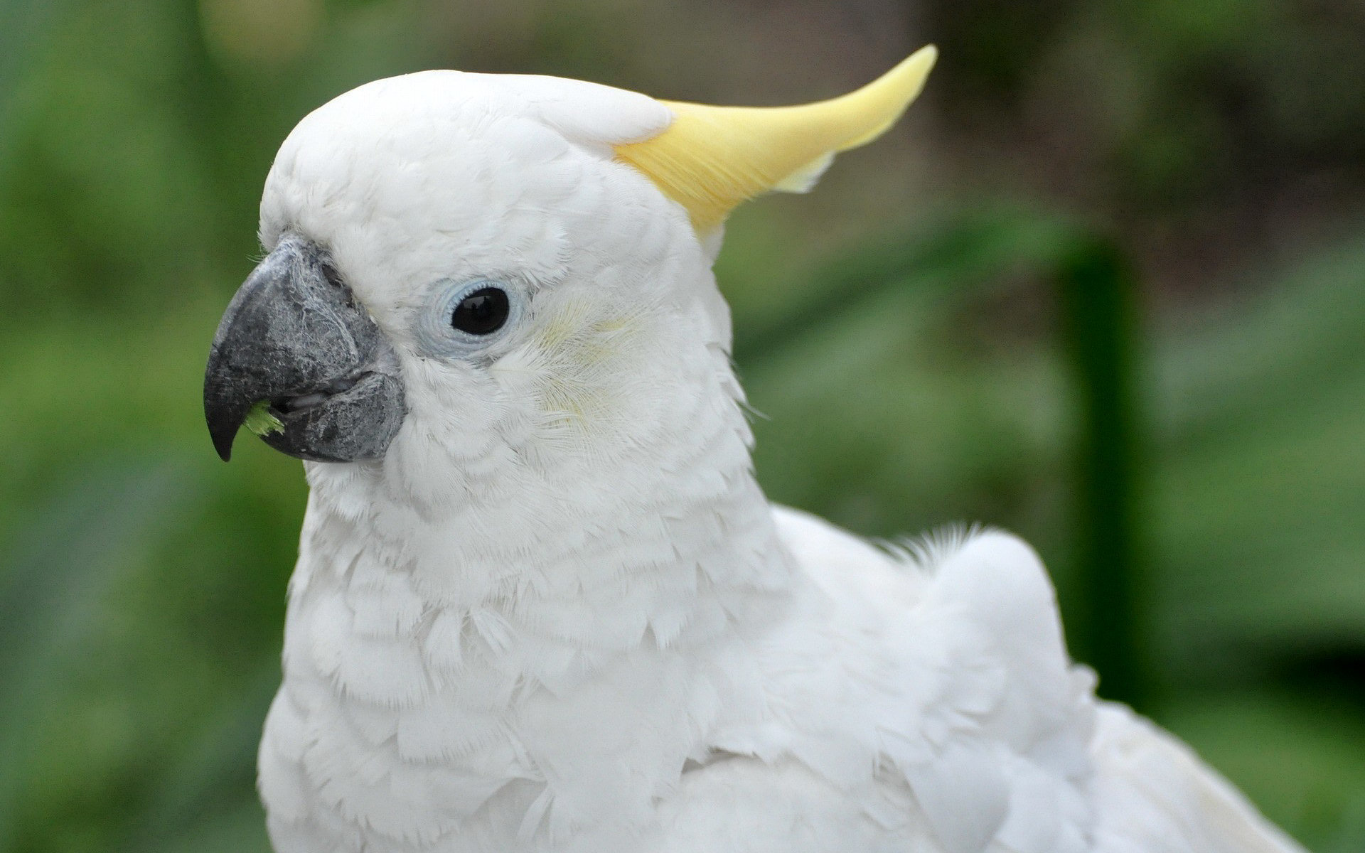 High resolution Sulphur-crested Cockatoo hd 1920x1200 background ID:130243 for computer