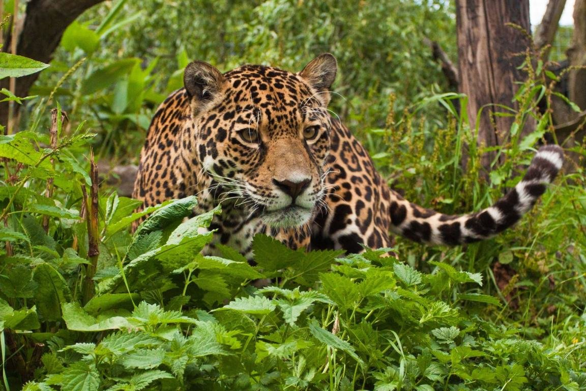 Awesome Jaguar free wallpaper ID:30204 for hd 1152x768 PC