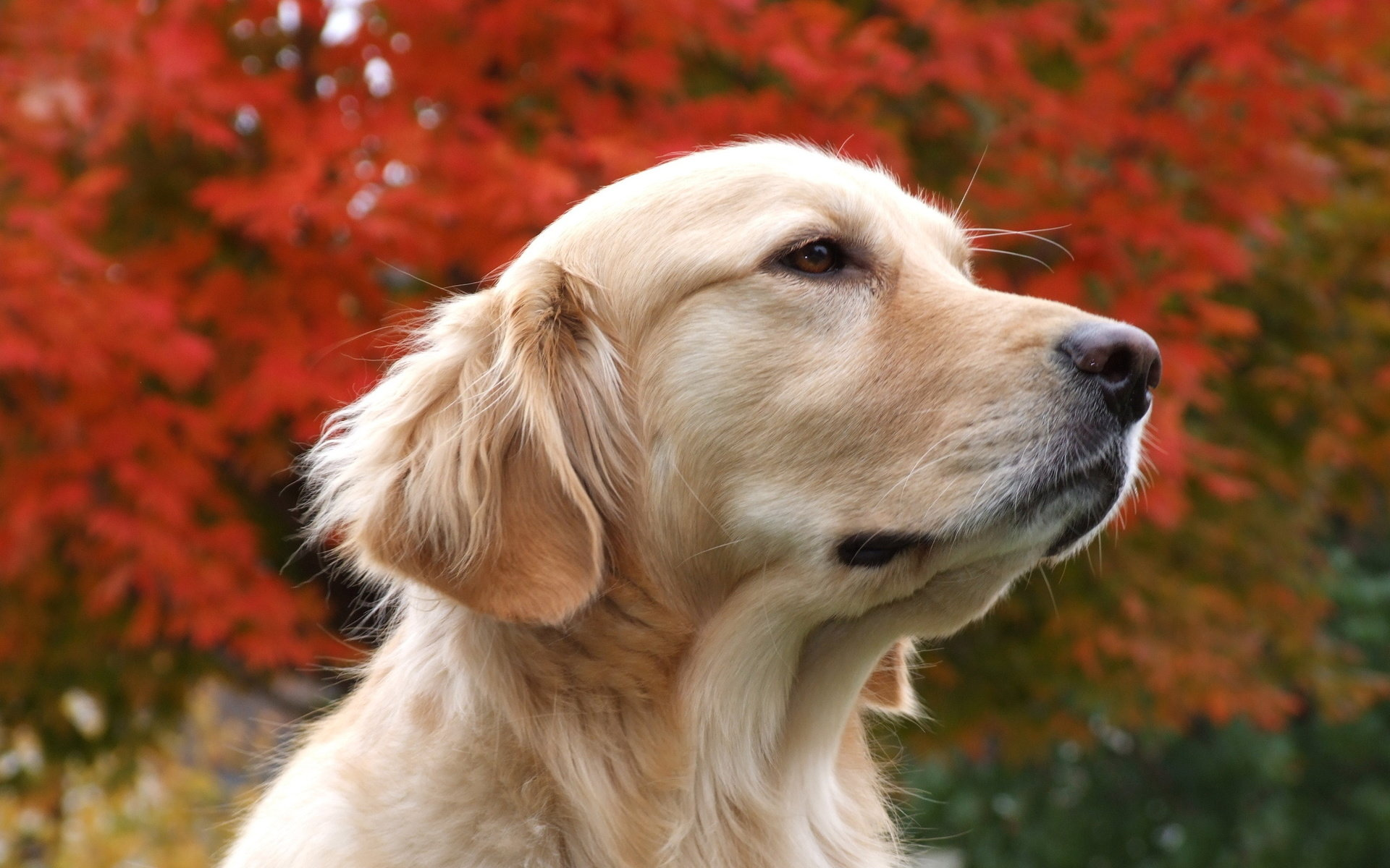 Free Golden Retriever high quality background ID:211852 for hd 1920x1200 desktop