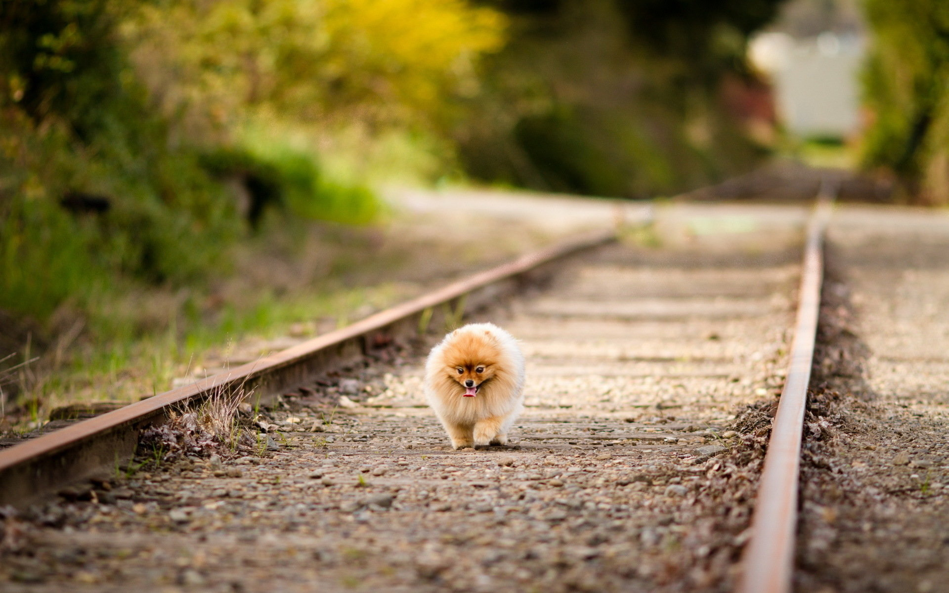 Download hd 1920x1200 Pomeranian desktop wallpaper ID:184950 for free