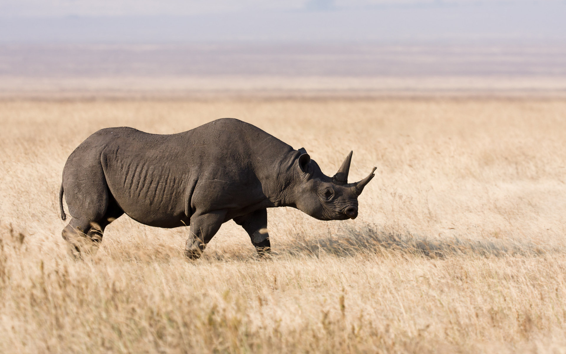 Free download Rhino wallpaper ID:20090 hd 1920x1200 for computer