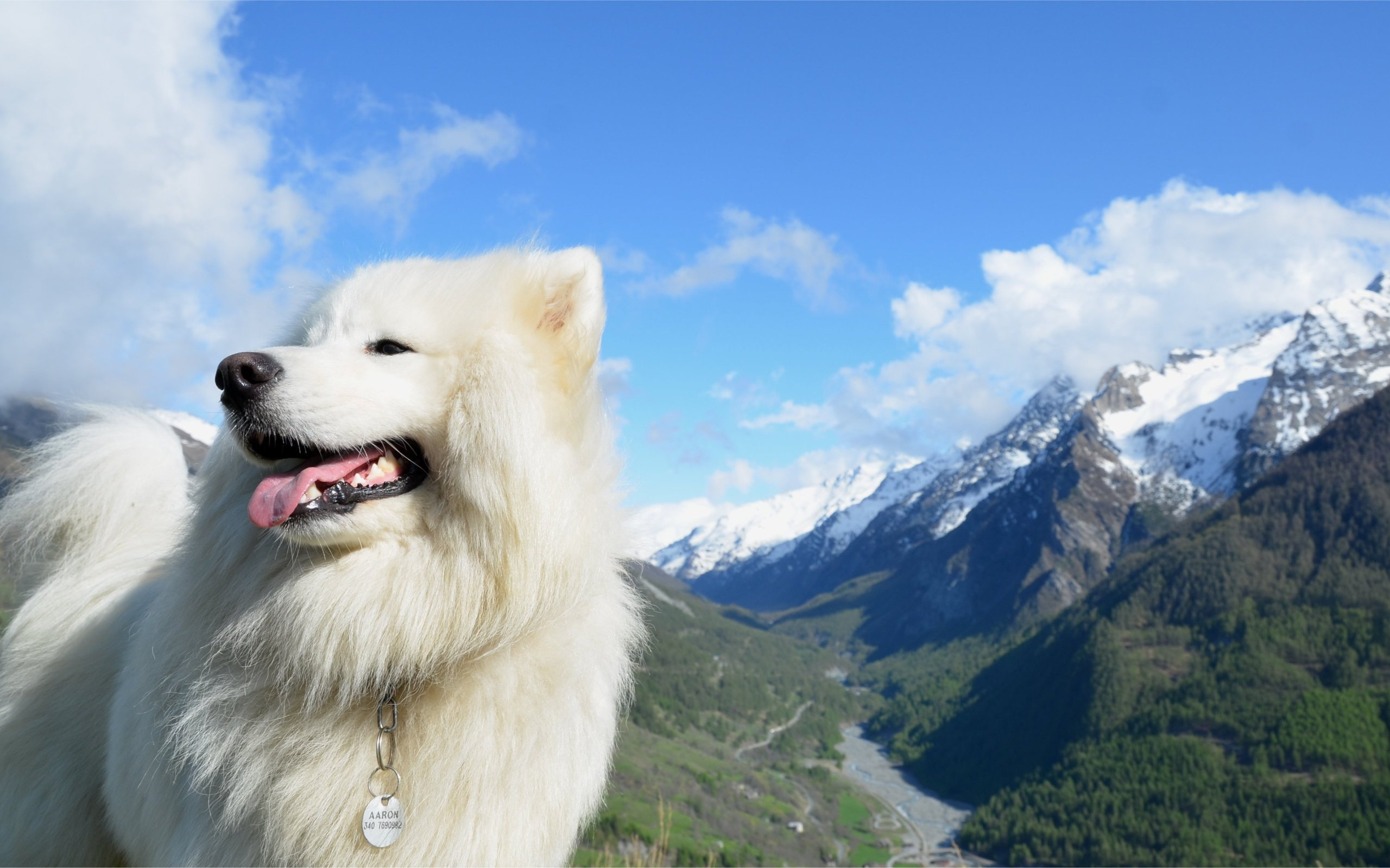 Free download Samoyed background ID:63148 hd 2560x1600 for desktop