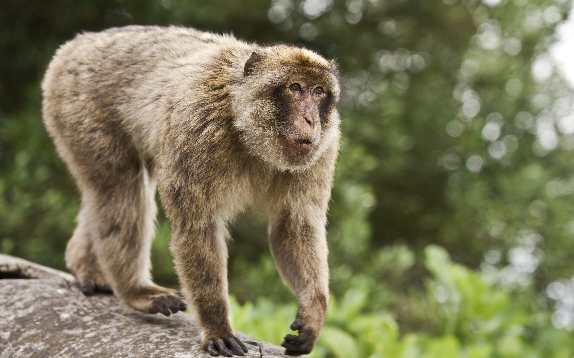High resolution Monkey hd 1920x1200 wallpaper ID:128012 for desktop