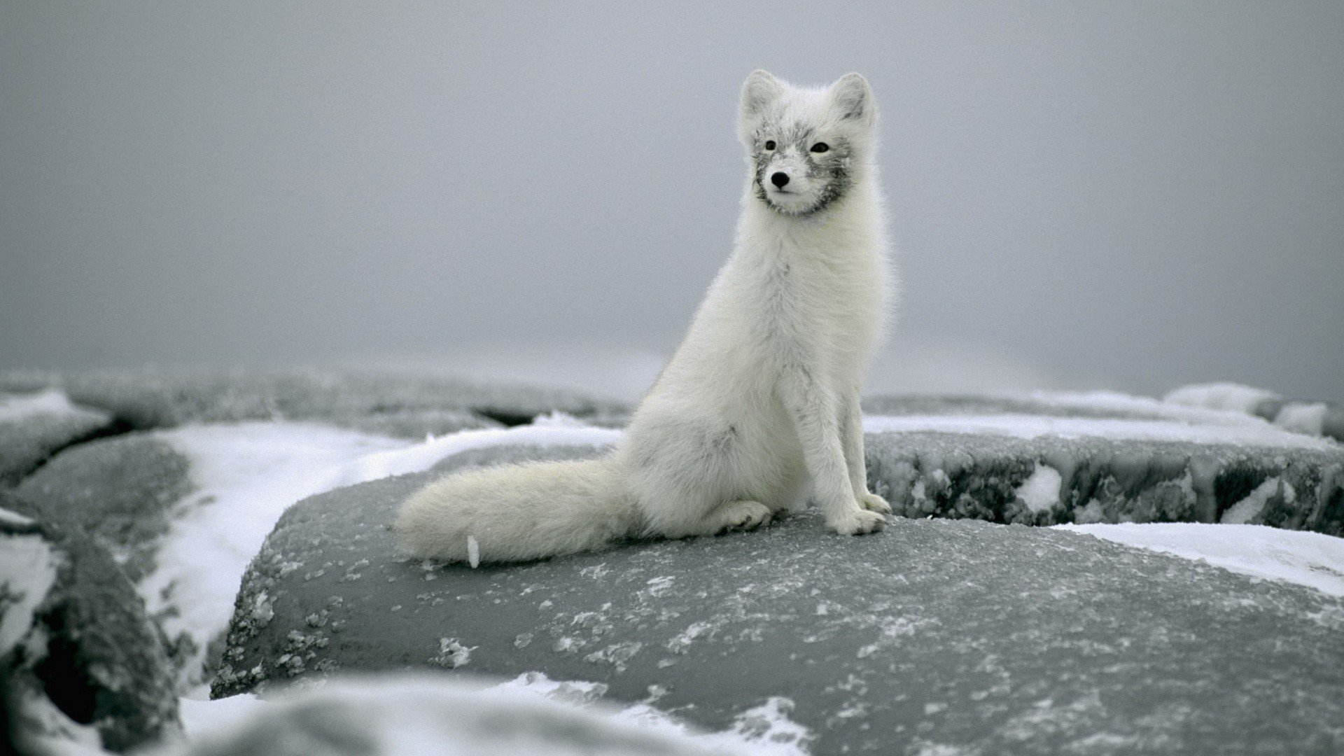 Best Arctic Fox background ID:98734 for High Resolution hd 1920x1080 computer
