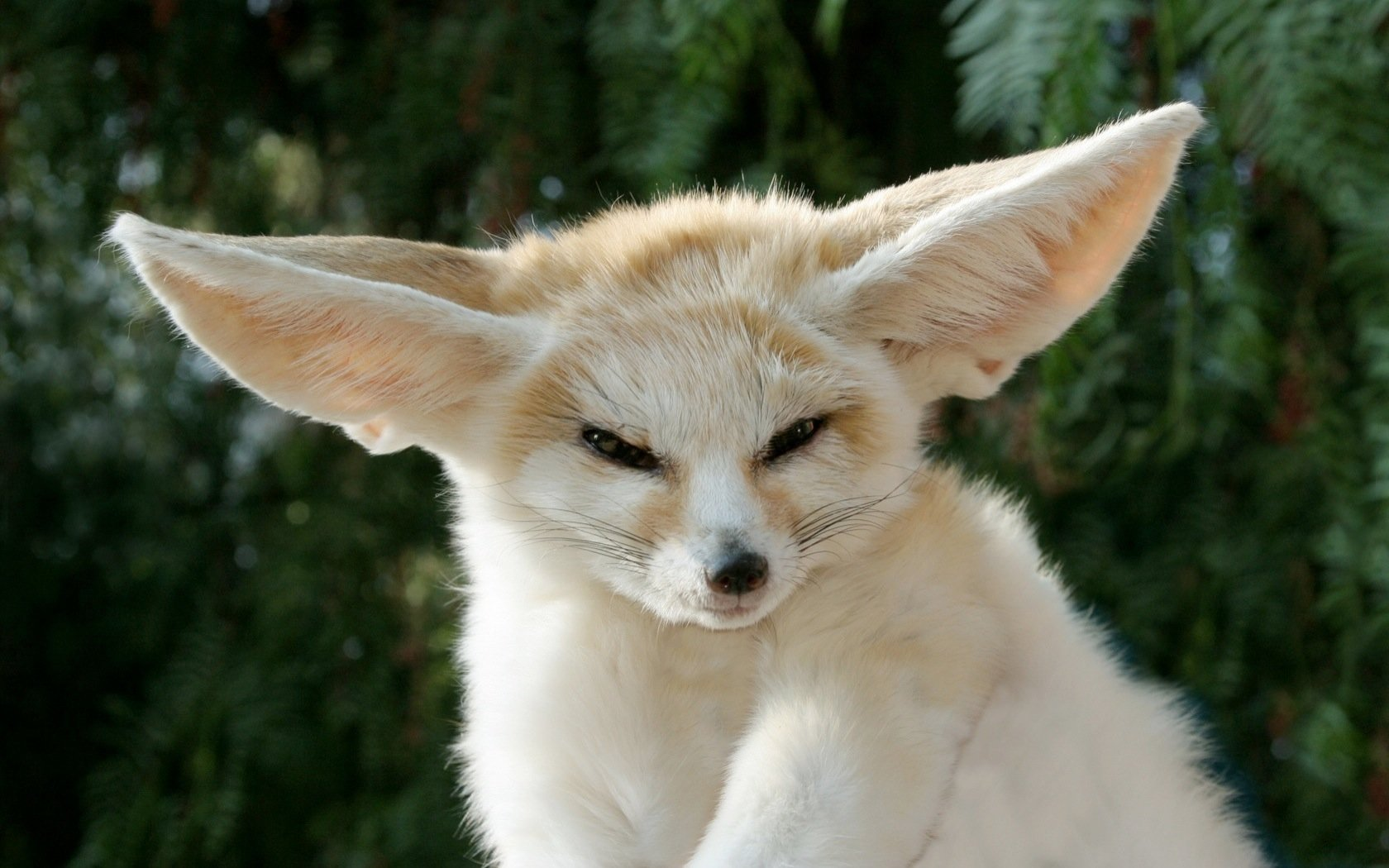 High resolution Fennec Fox hd 1680x1050 background ID:137670 for PC