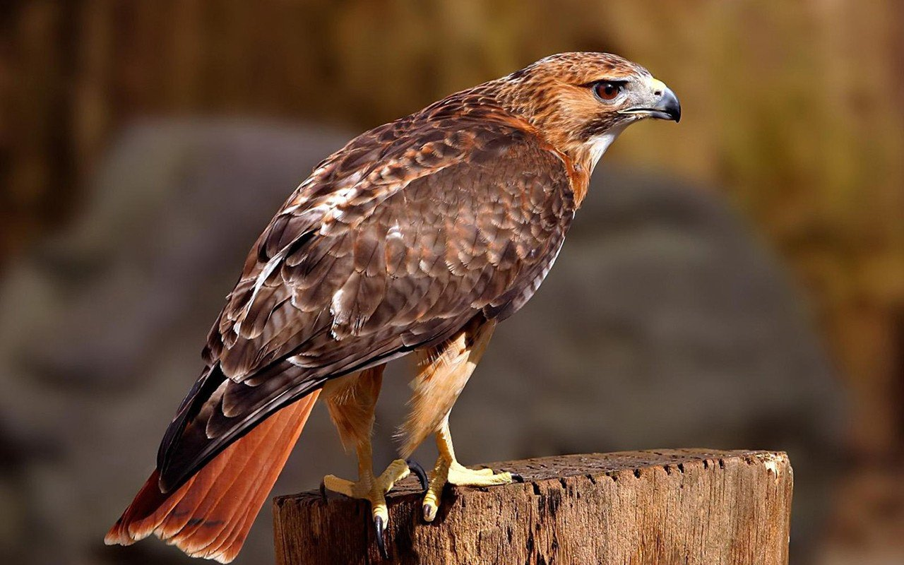 Best Hawk background ID:122573 for High Resolution hd 1280x800 computer
