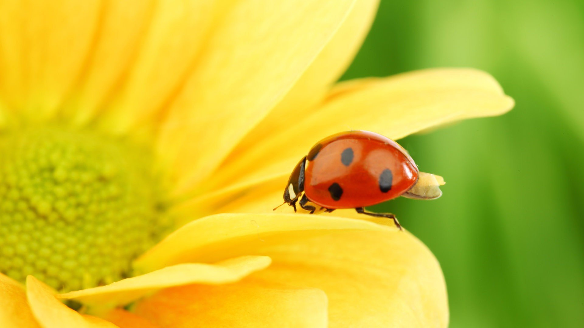 Awesome Ladybug free wallpaper ID:270462 for hd 1080p desktop