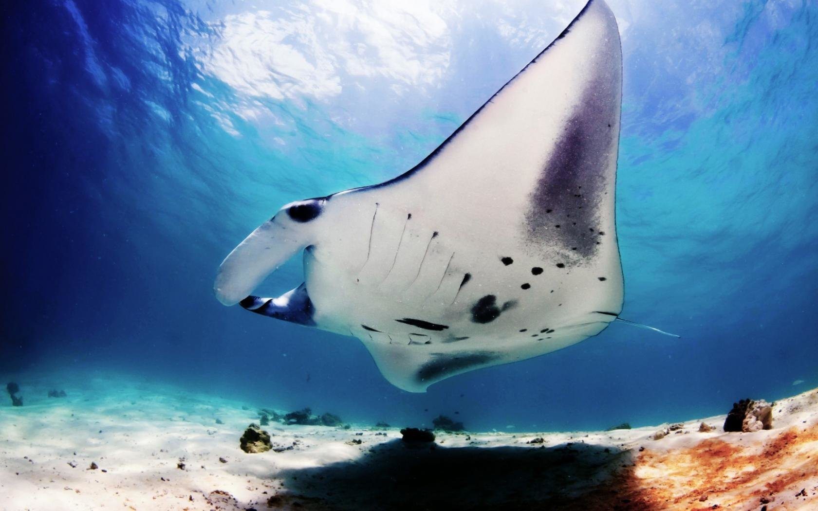 Free Manta Ray high quality background ID:346062 for hd 1680x1050 computer