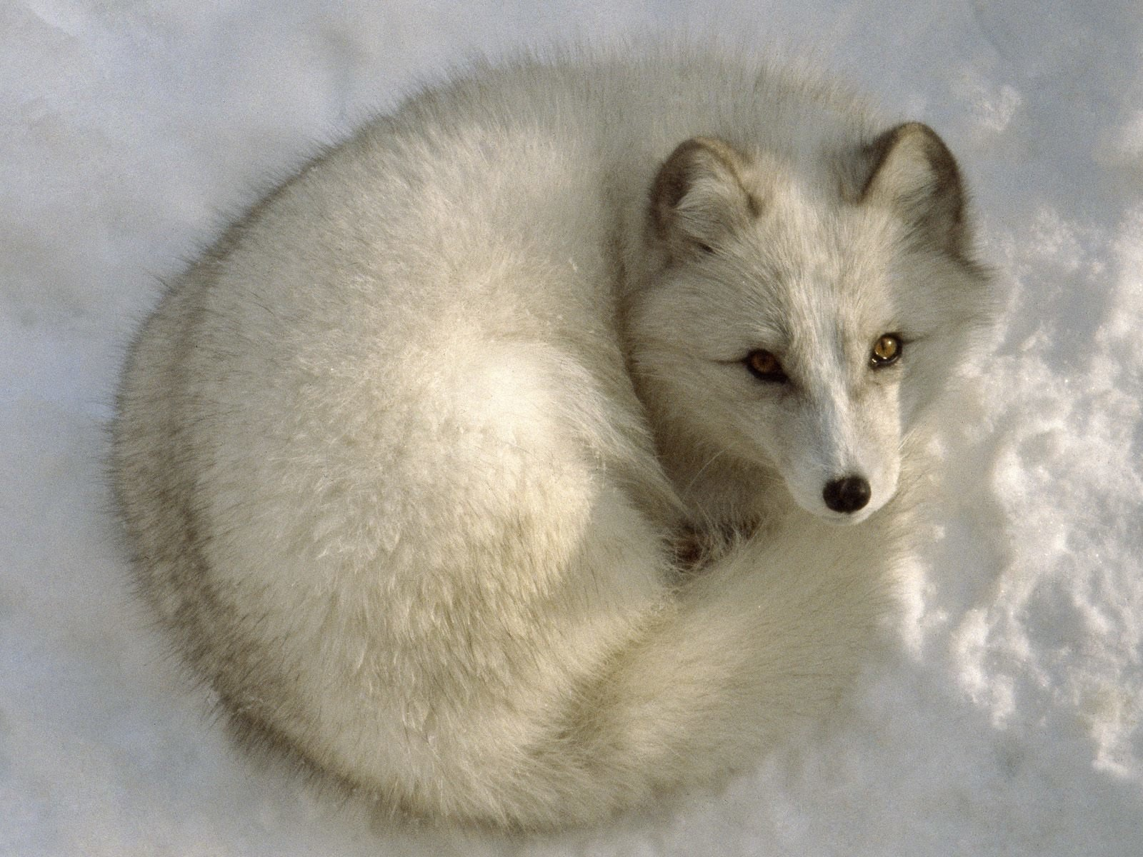 High resolution Arctic Fox hd 1600x1200 wallpaper ID:98721 for PC