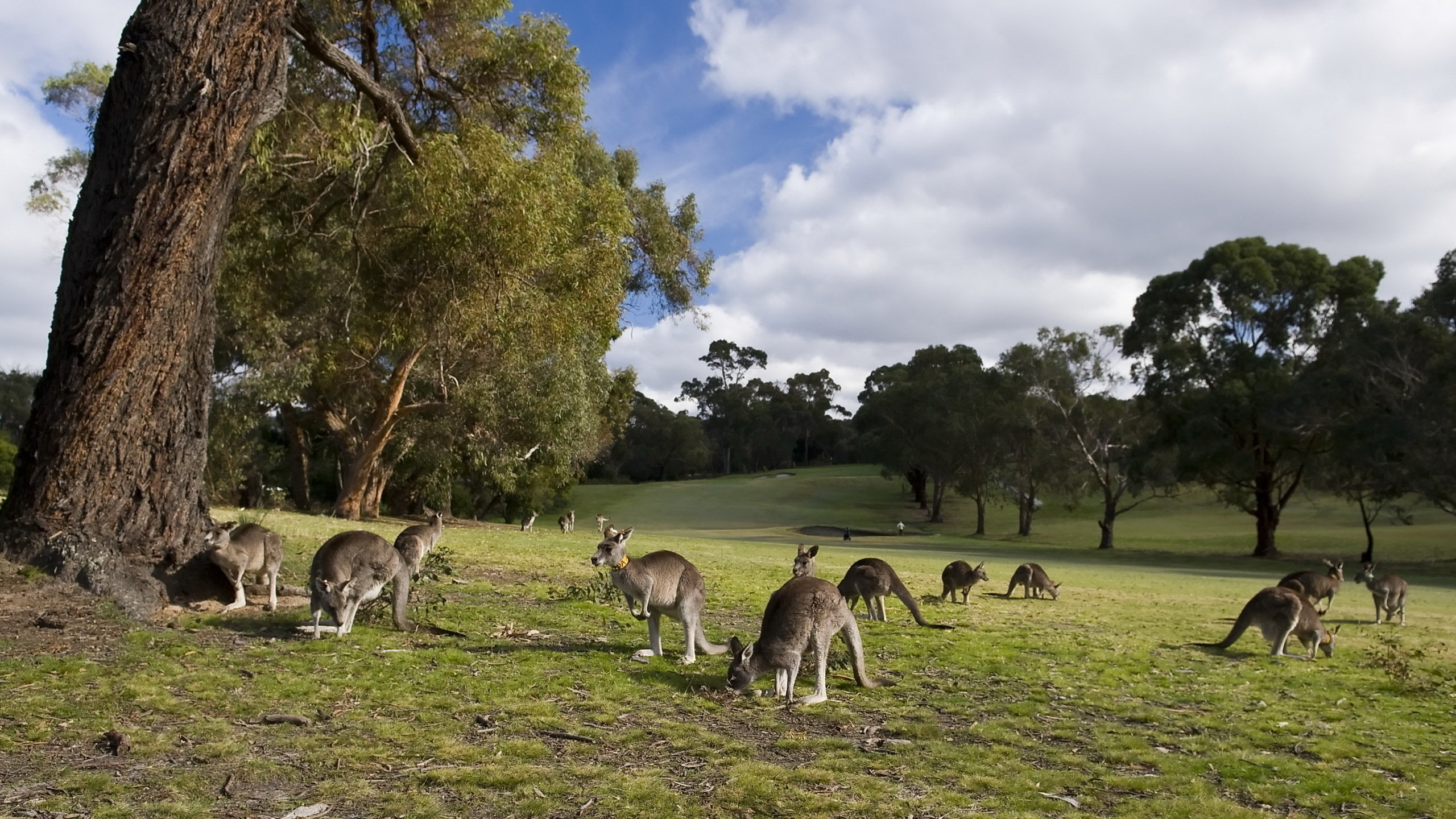 Awesome Kangaroo free wallpaper ID:122524 for hd 2560x1440 PC