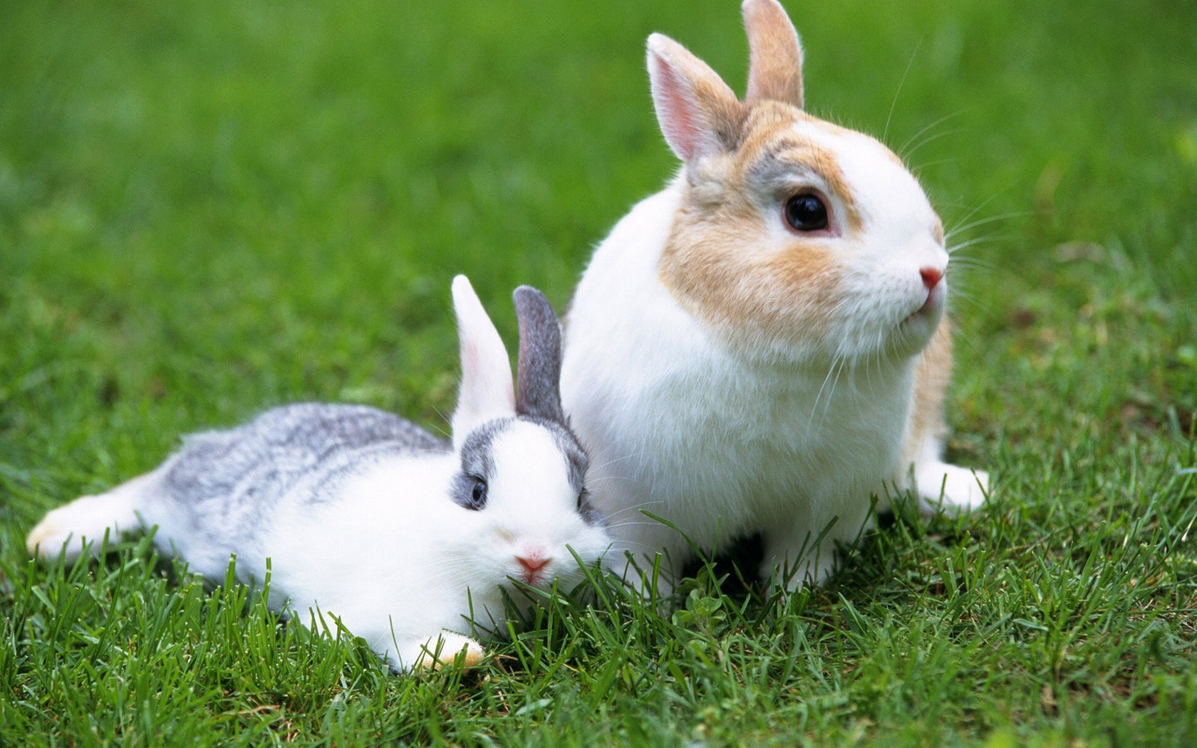 Best Rabbit & Bunny background ID:249206 for High Resolution hd 1680x1050 PC