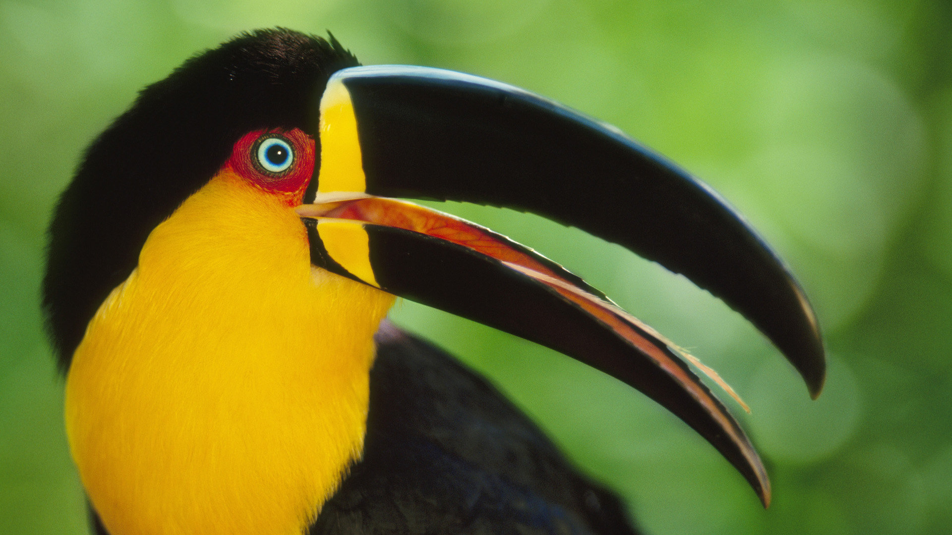 Download full hd 1080p Toucan desktop wallpaper ID:57297 for free